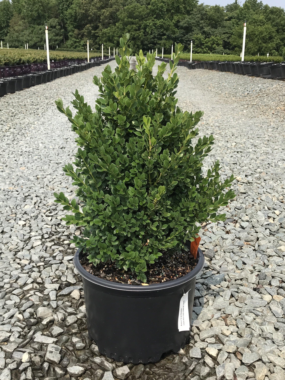 Buxus x 'Green Mountain' 3 gallon