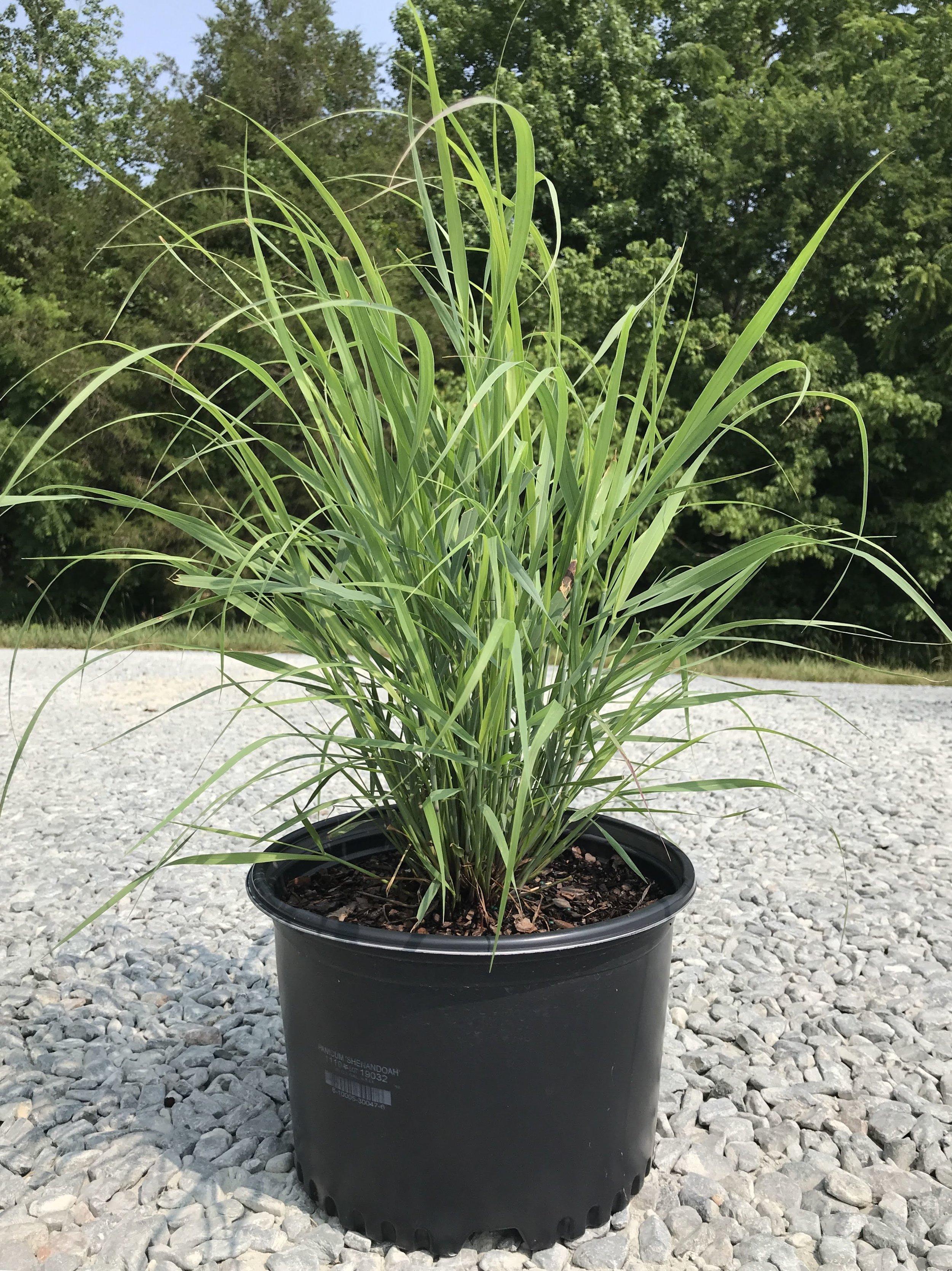 Panicum virgatum 'Shenandoah' 3 gallon