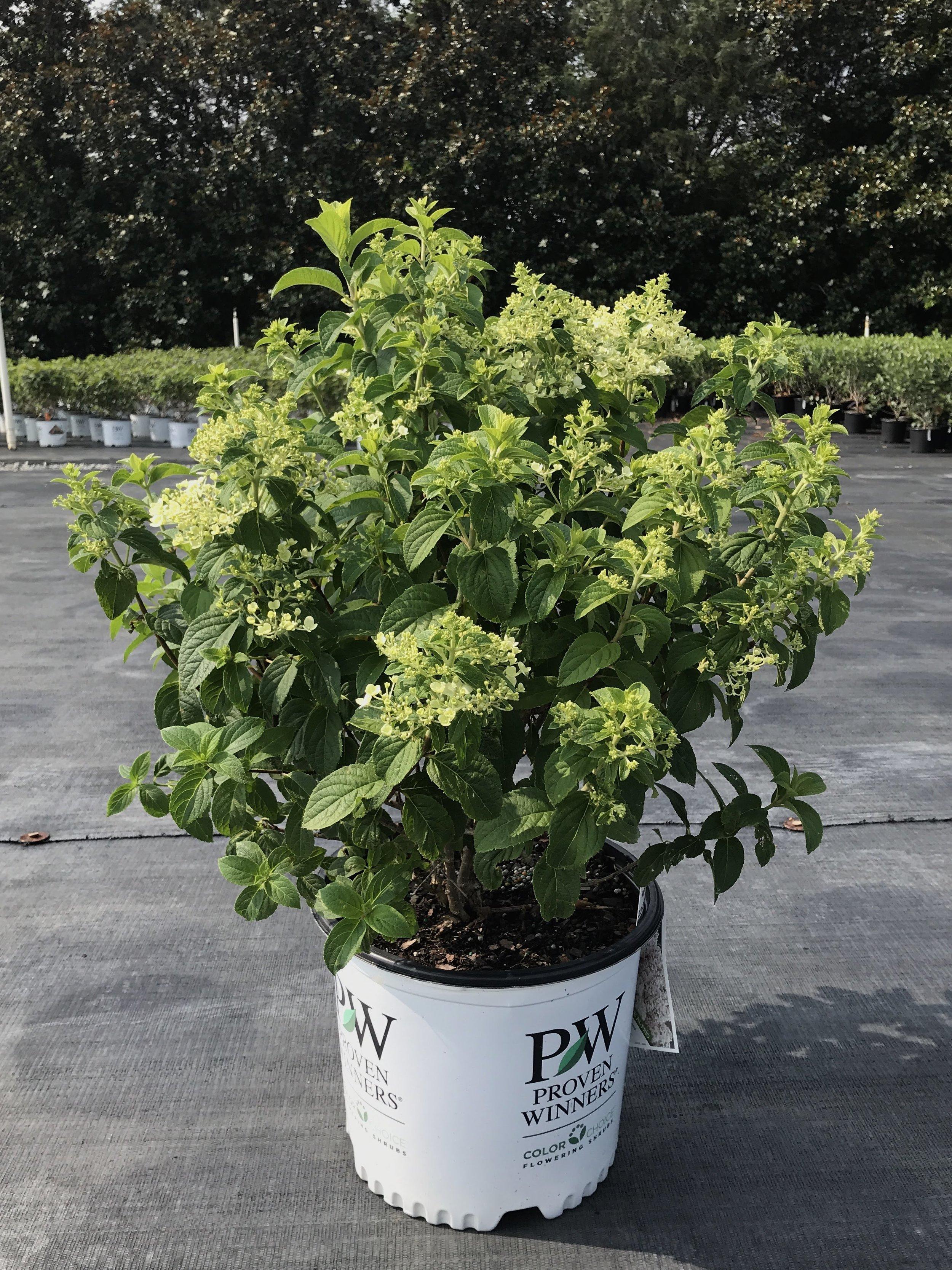 Hydrangea paniculata 'Bobo' 3 gallon