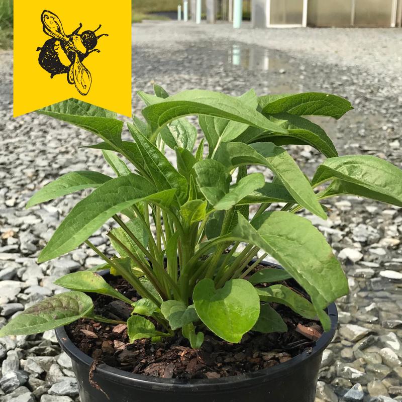 Echinacea purpurea 'PowWow Wild Berry' 1 gallon