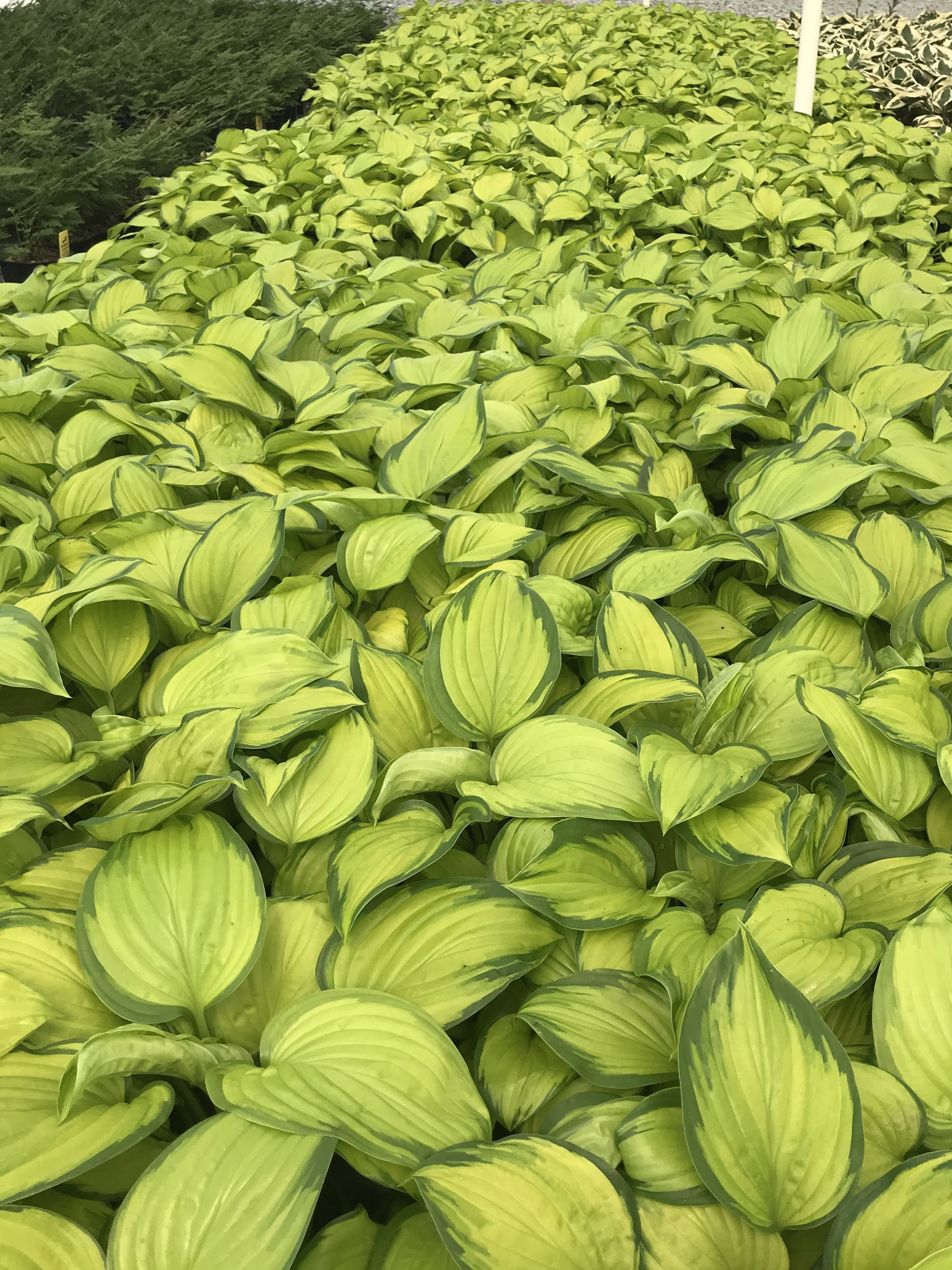 Hosta 'Stained Glass' 1 gallon