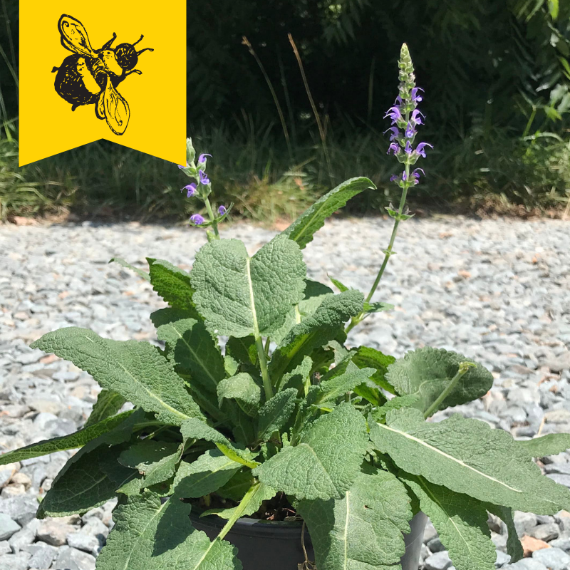 Salvia nemorosa 'May Knight' 1 gallon