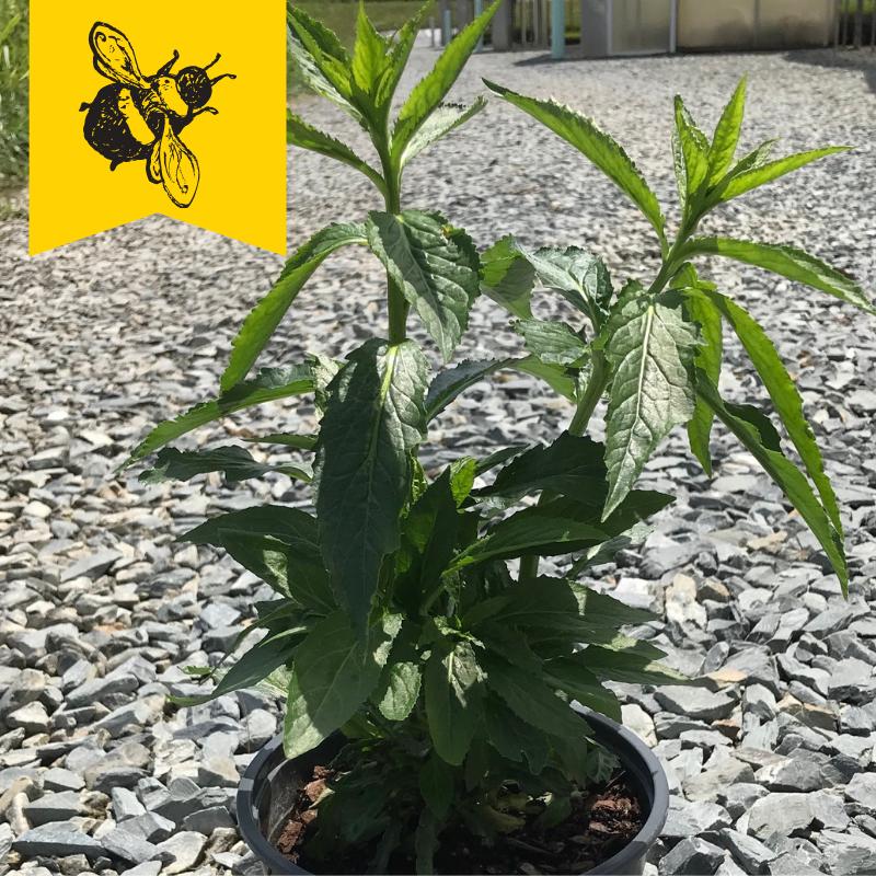 Lobelia cardinalis 1 gallon