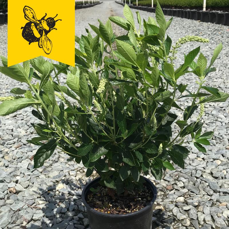 Clethra alnifolia 'Hummingbird' 1 gallon