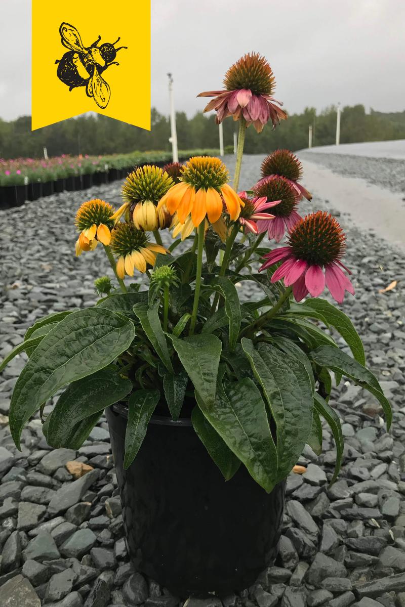Echinacea hybrida 'Cheyenne Spirit' 1 gallon