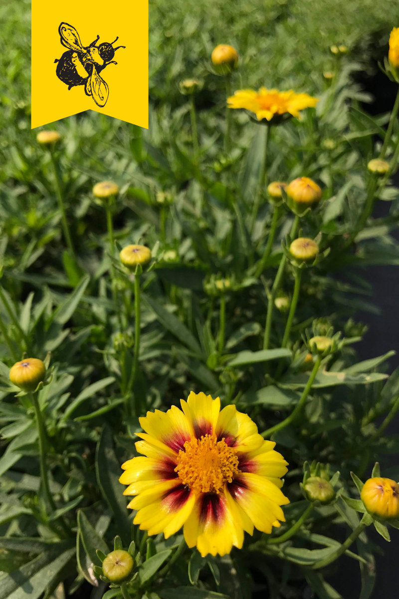 Coreopsis verticillata Enchanted Eve L'il Bang(TM) Tickseed 1 gallon