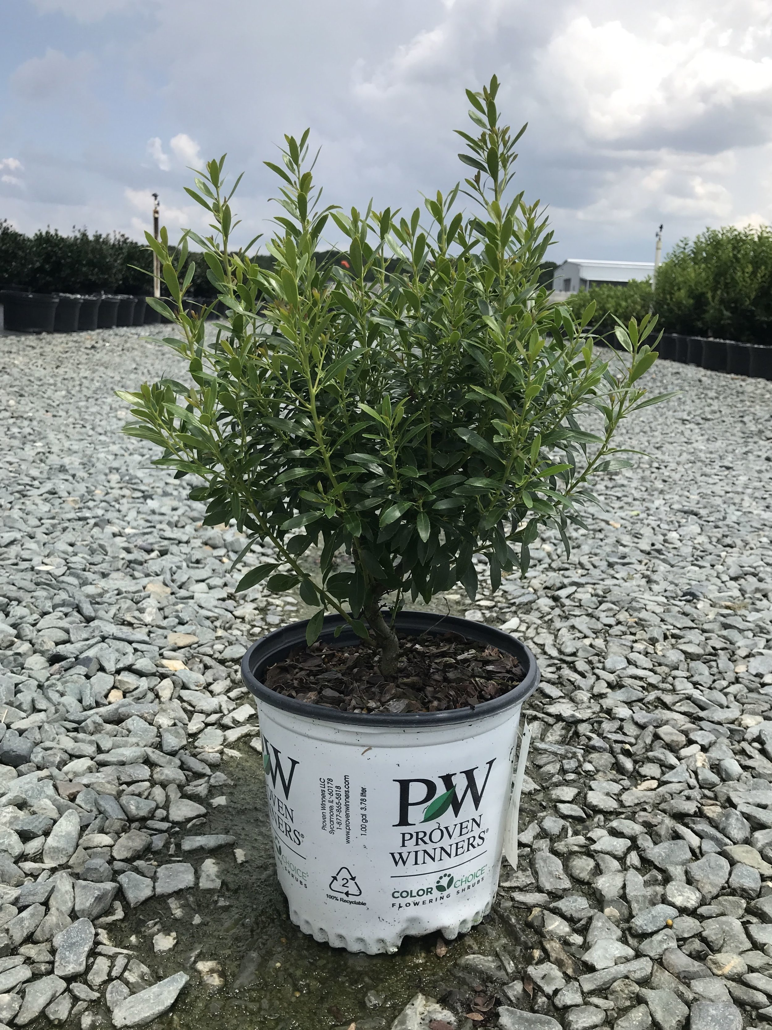 Ilex glabra 'SMNIGAB17' GemBox Inkberry Holly 1 gallon