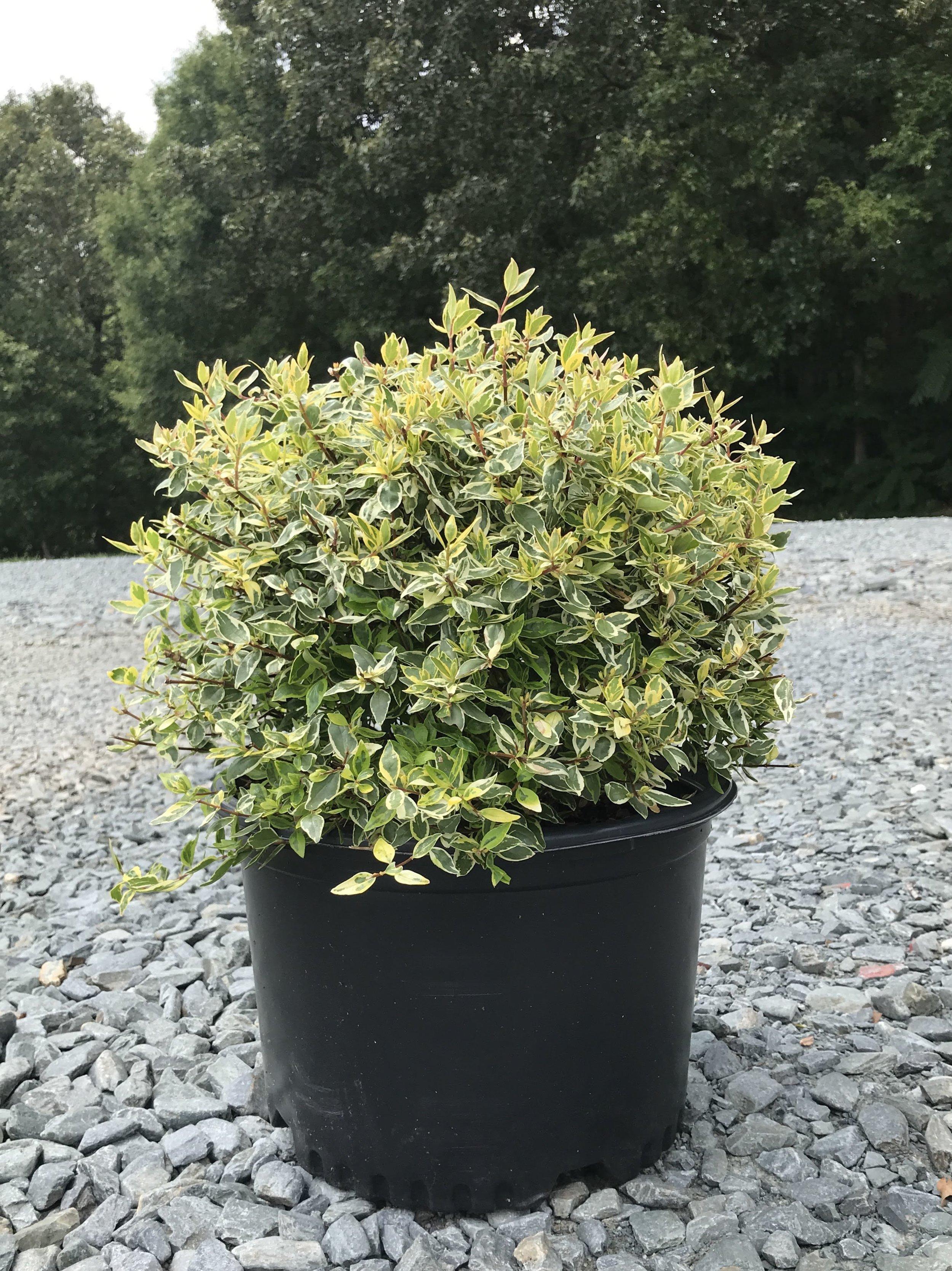 Abelia x grandiflora 'Radiance' 3 gallon