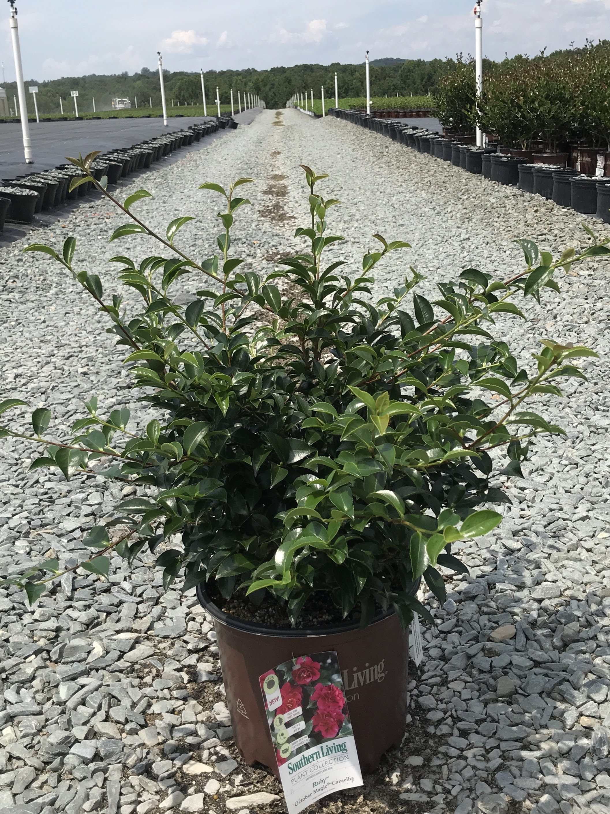 Camellia sasanqua, October Magic Ruby 3 gallon