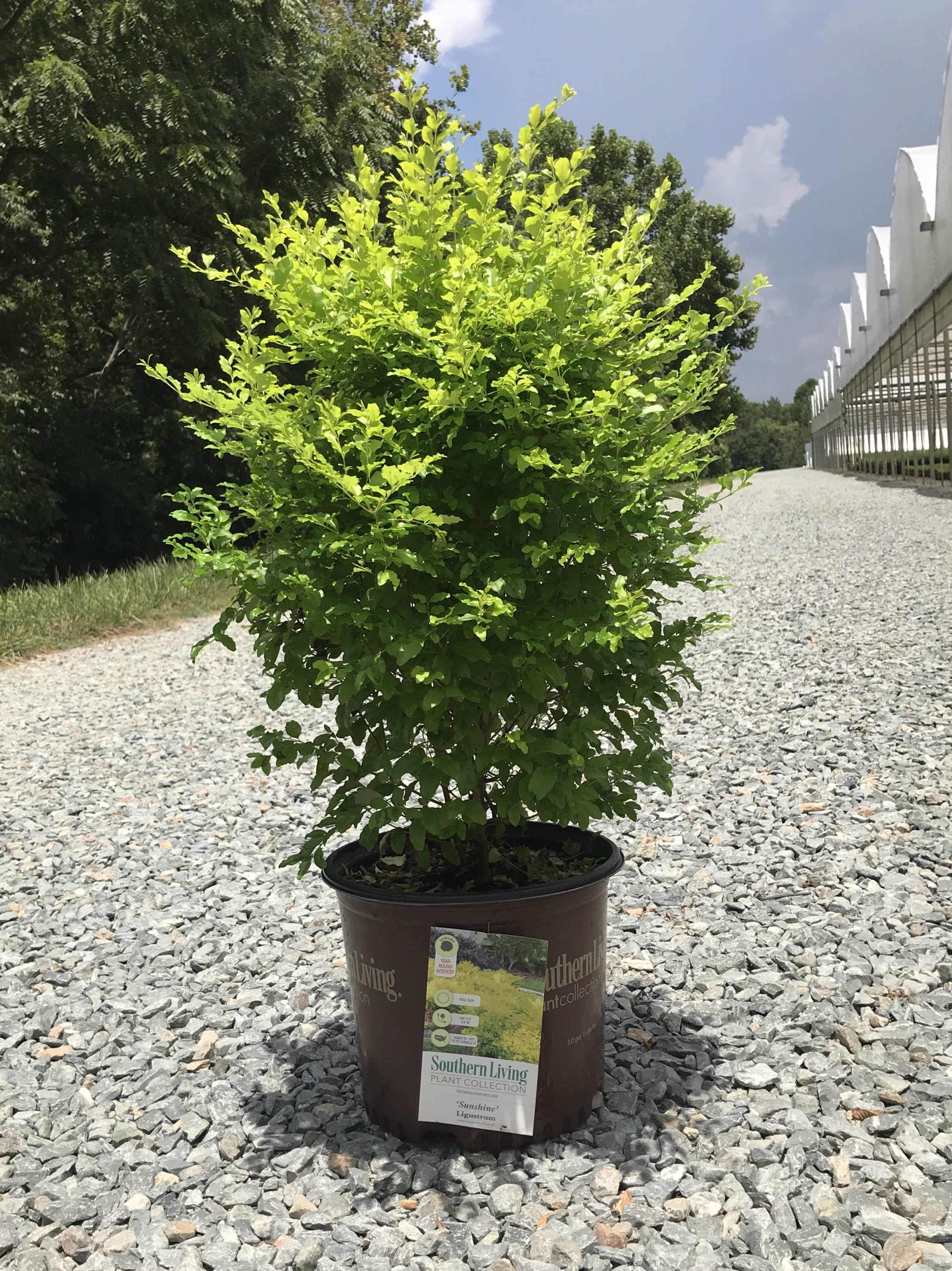Ligustrum sinense 'Sunshine' 3 gallon
