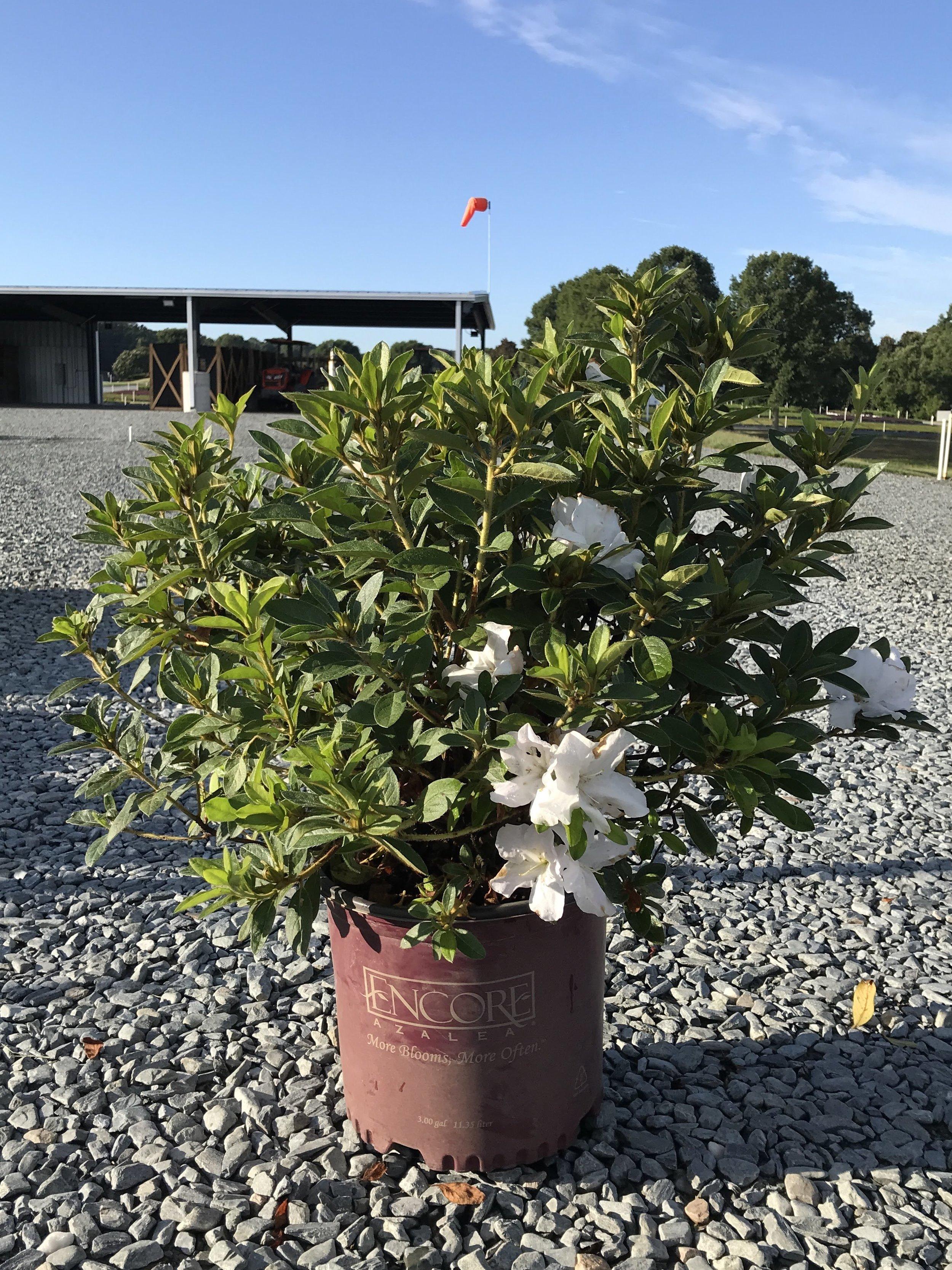 Rhododendron 'Roblex', Encore Autumn Lily Azalea 3 gallon