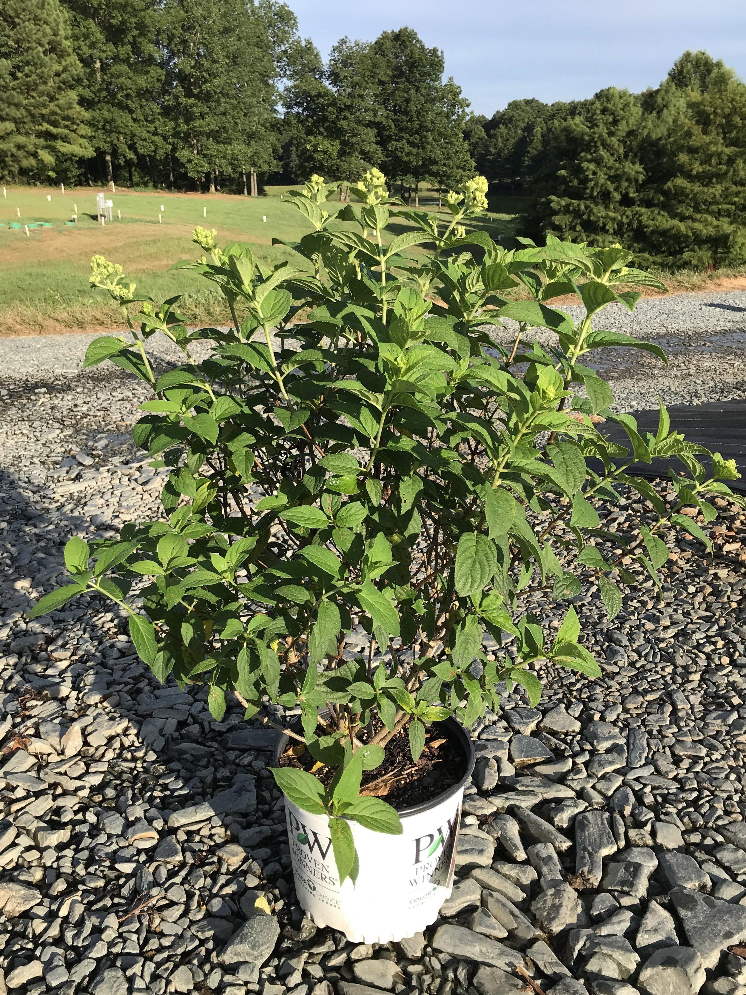 Hydrangea paniculata, Fire Light 3 gallon