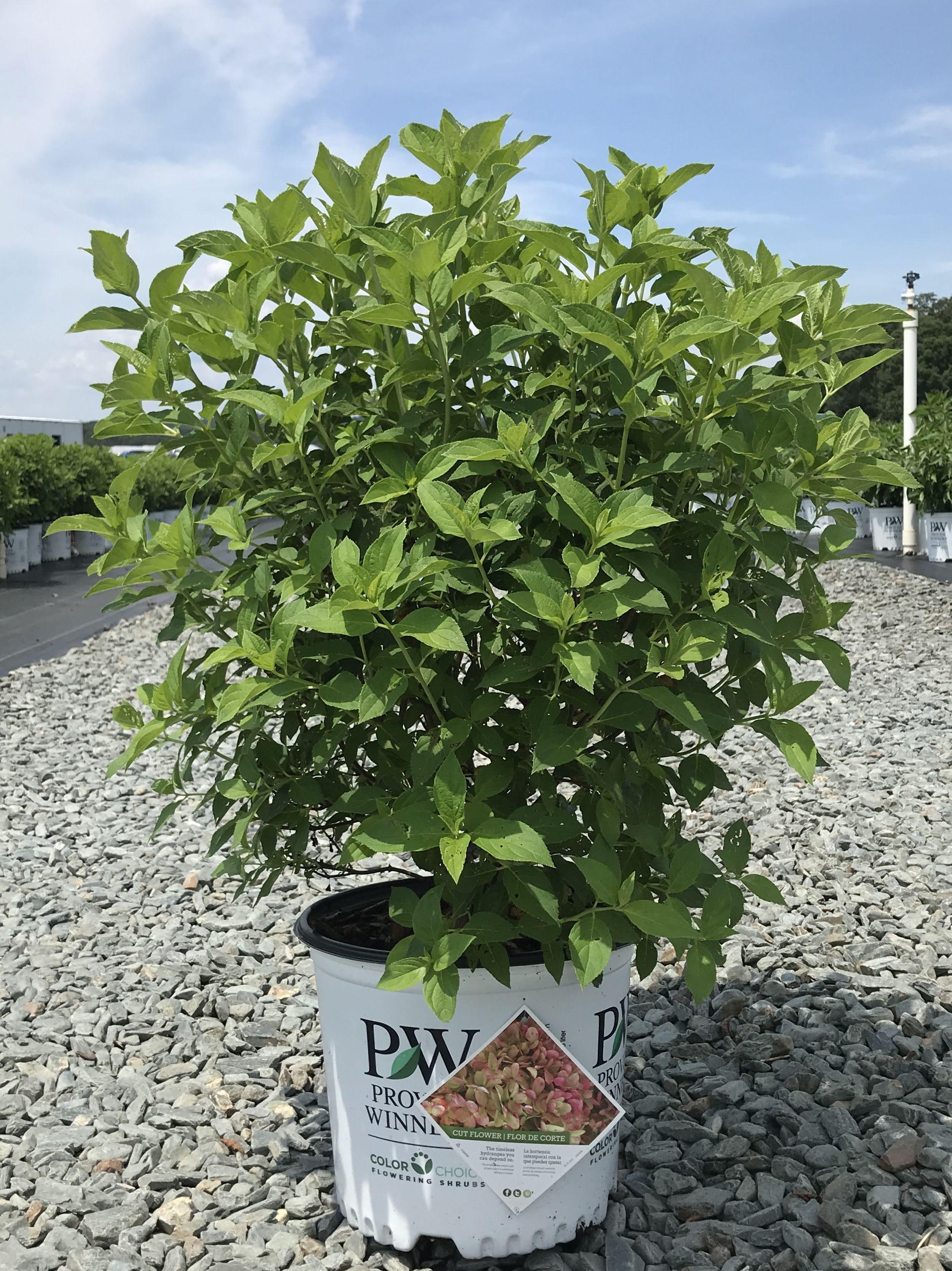 Hydrangea paniculata 'Limelight' 3 gallon