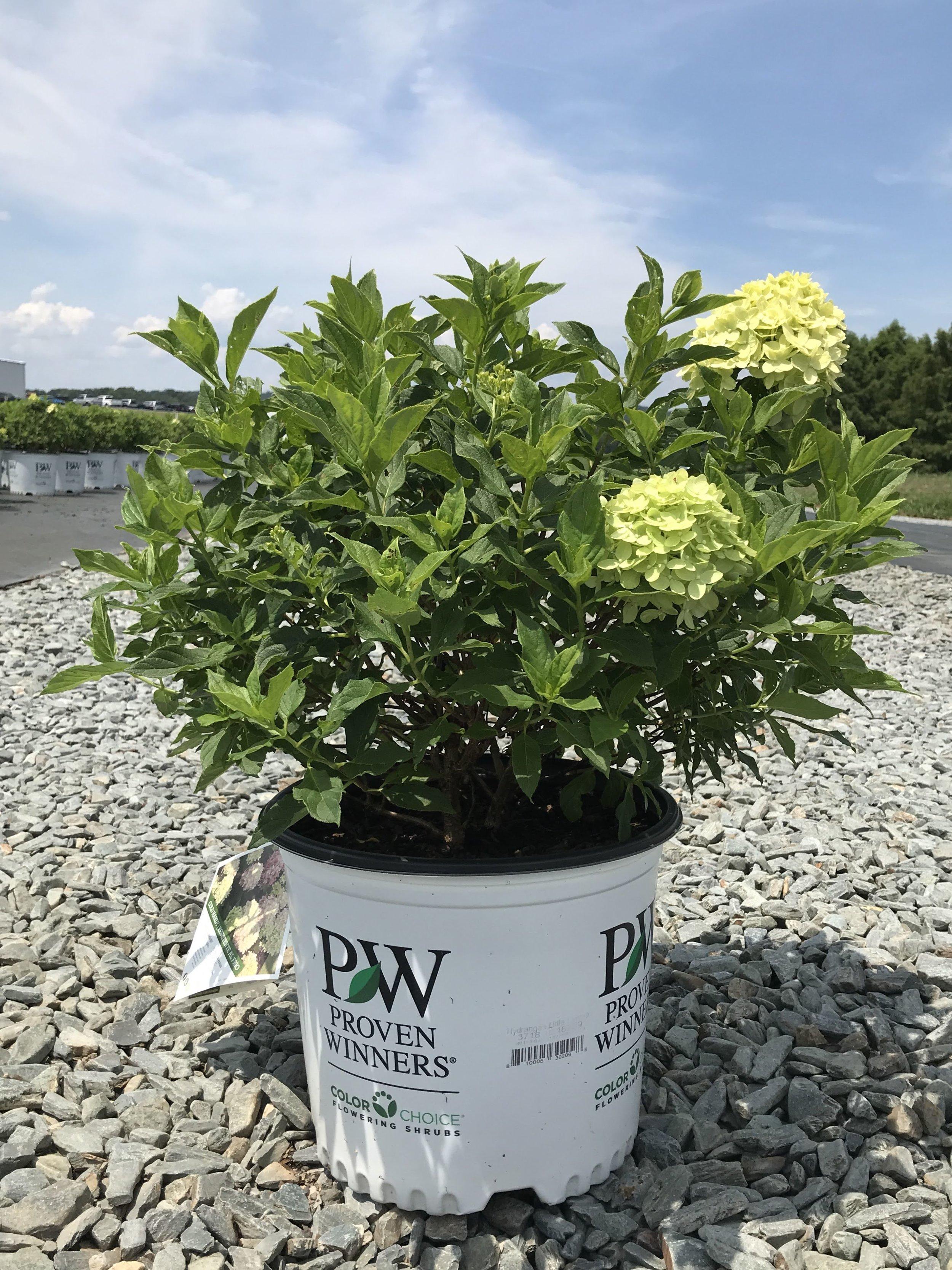 Hydrangea paniculata 'Jane', Little Lime Hydrangea 3 gallon