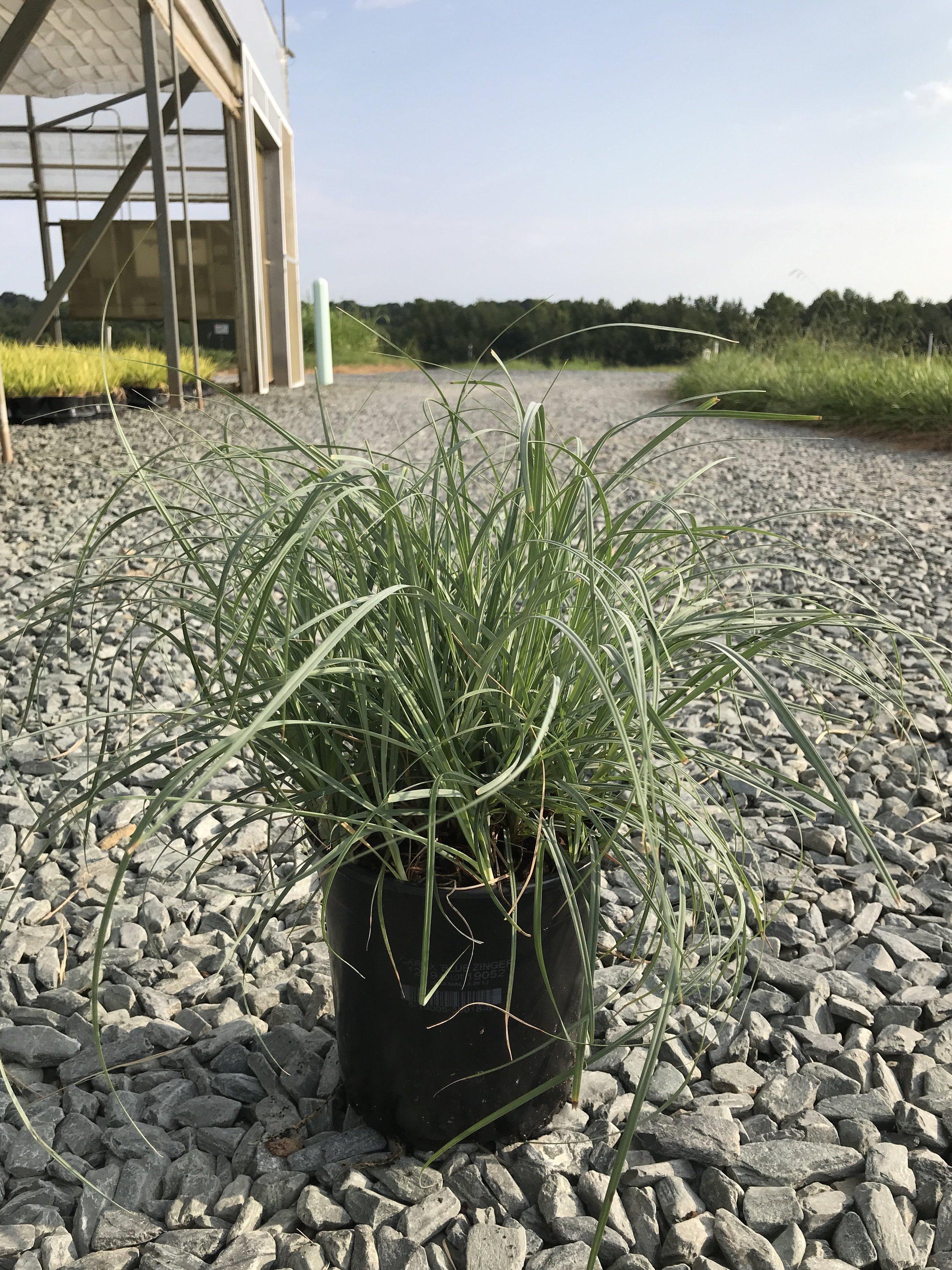 Carex flacca 'Blue Zinger' 1 gallon