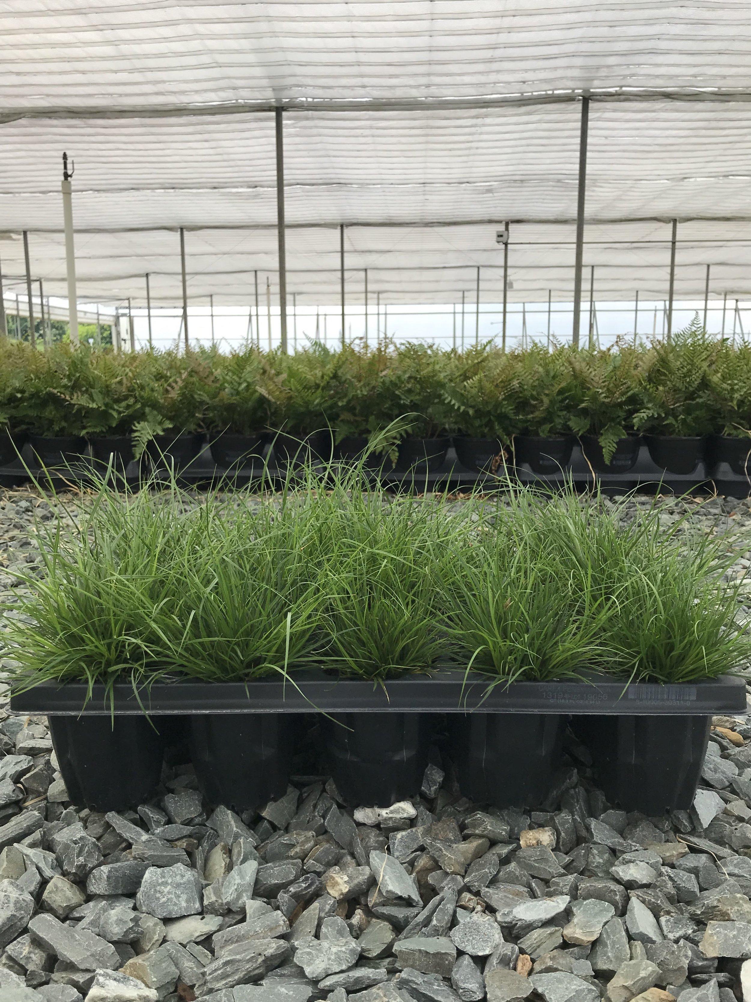 Carex pensylvanica QT - 15CT trays