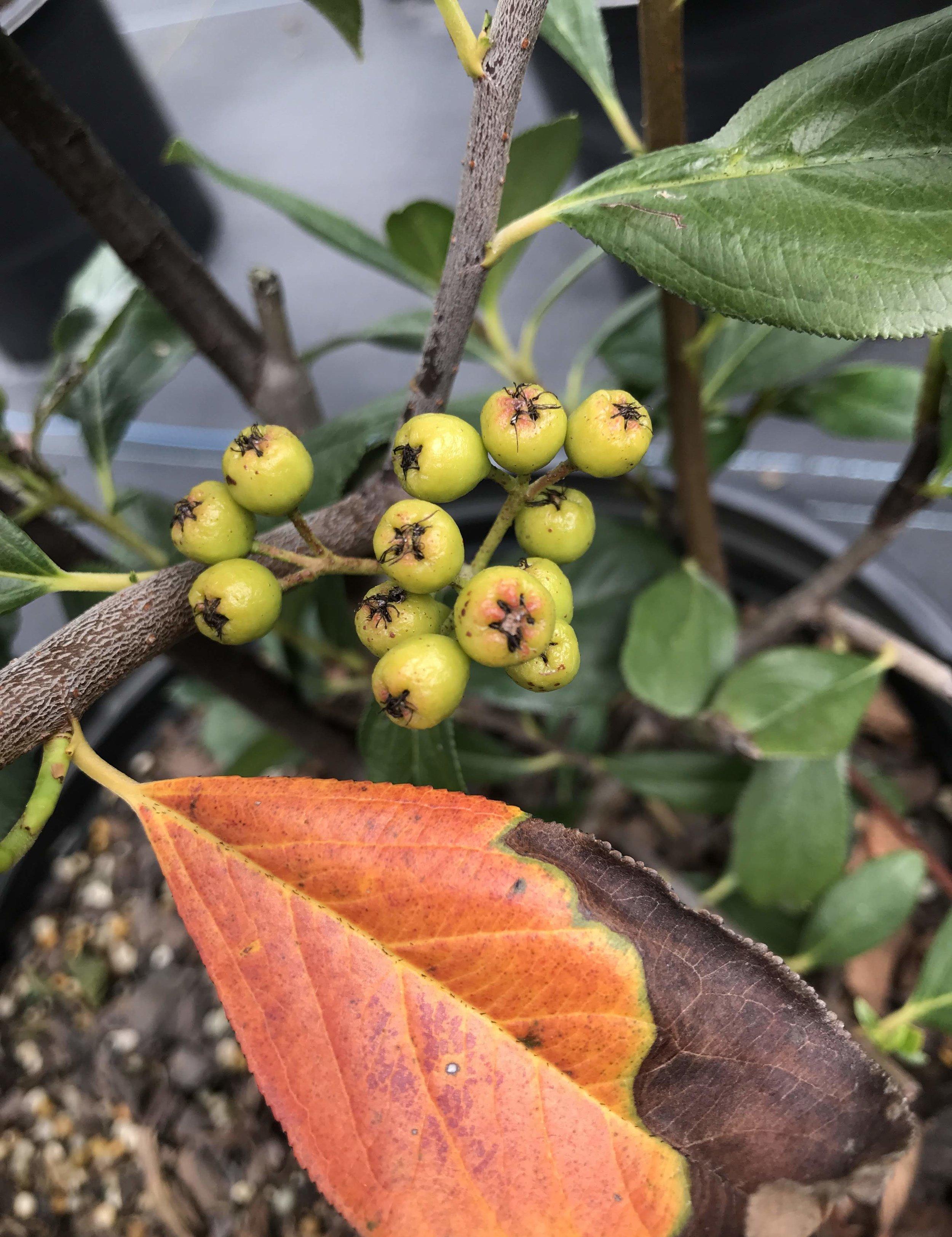 Aronia arbutifolia 'Brilliantissima' 3 gallon