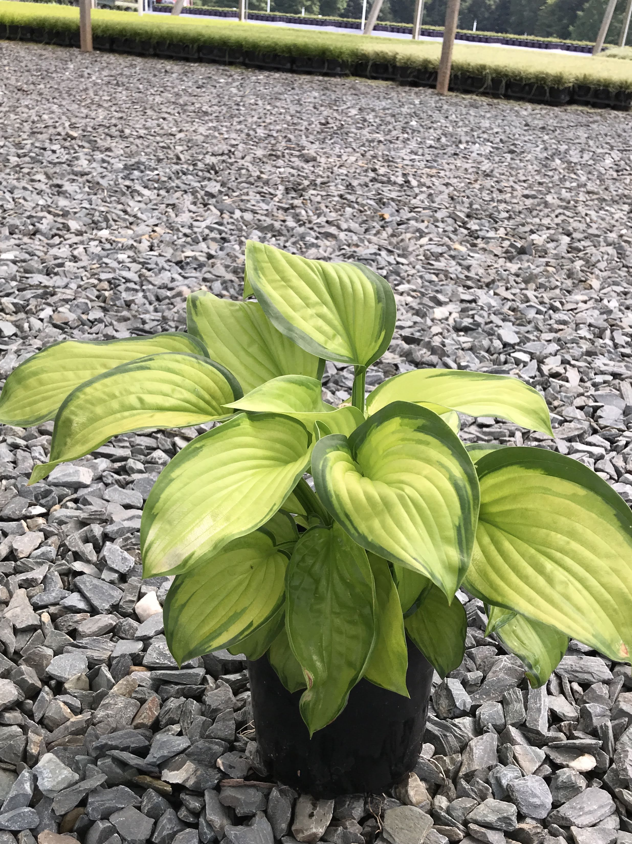 Hosta' Stained Glass' 1 gallon