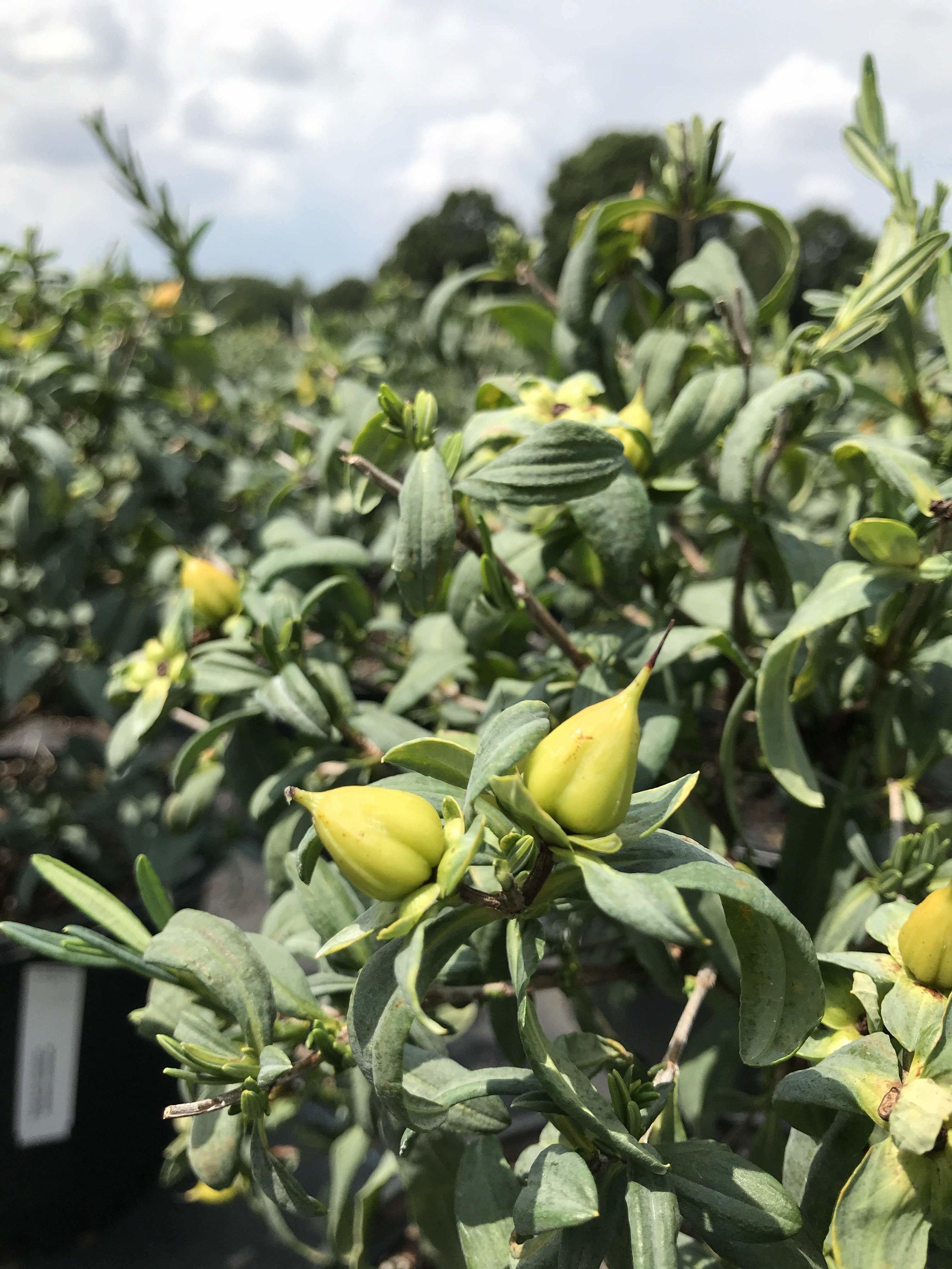 Hypericum frondosum 'Sunburst' 3 gallon
