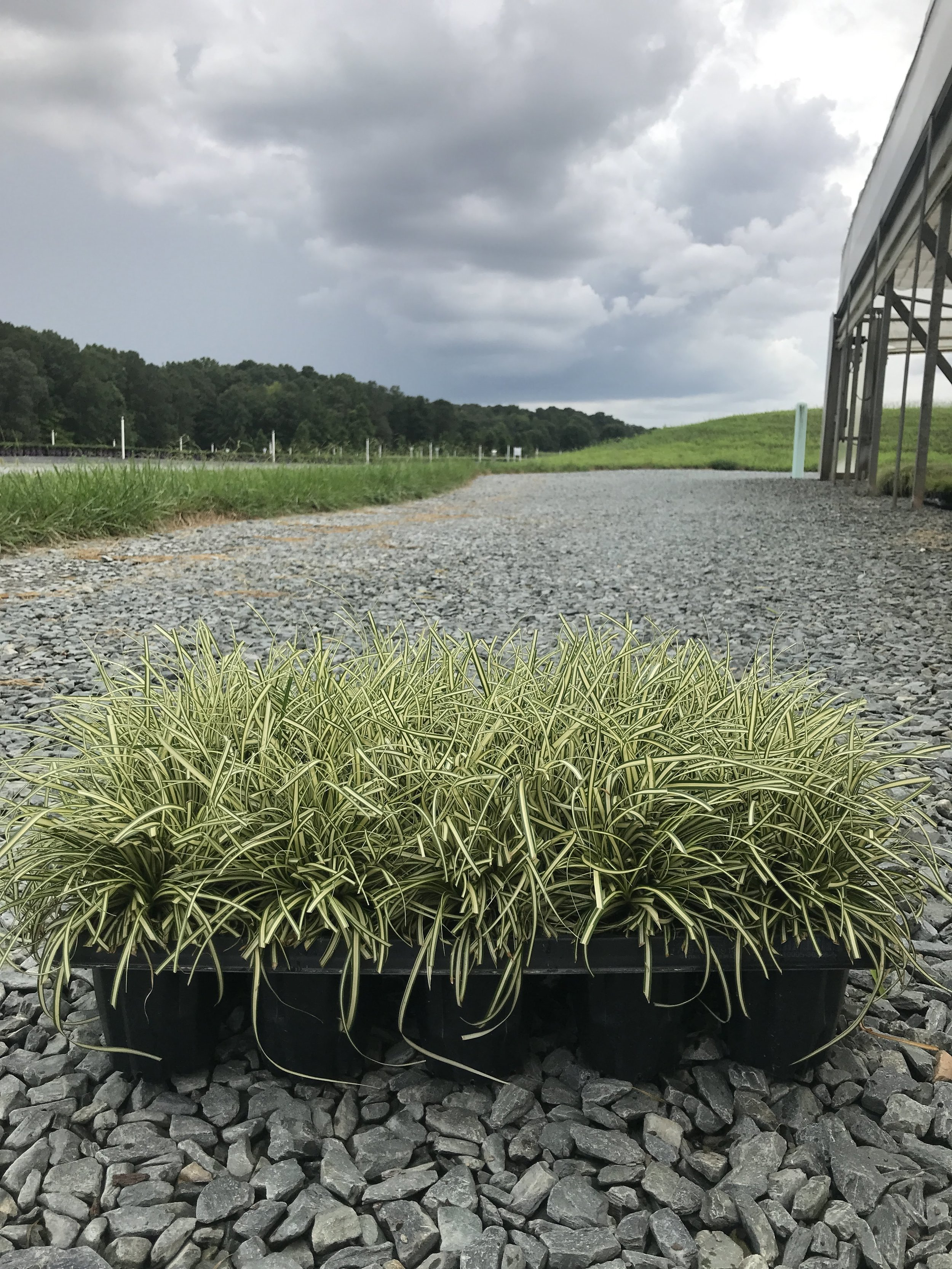 Carex oshimensis 'Evergold' QT - 15ct Tray