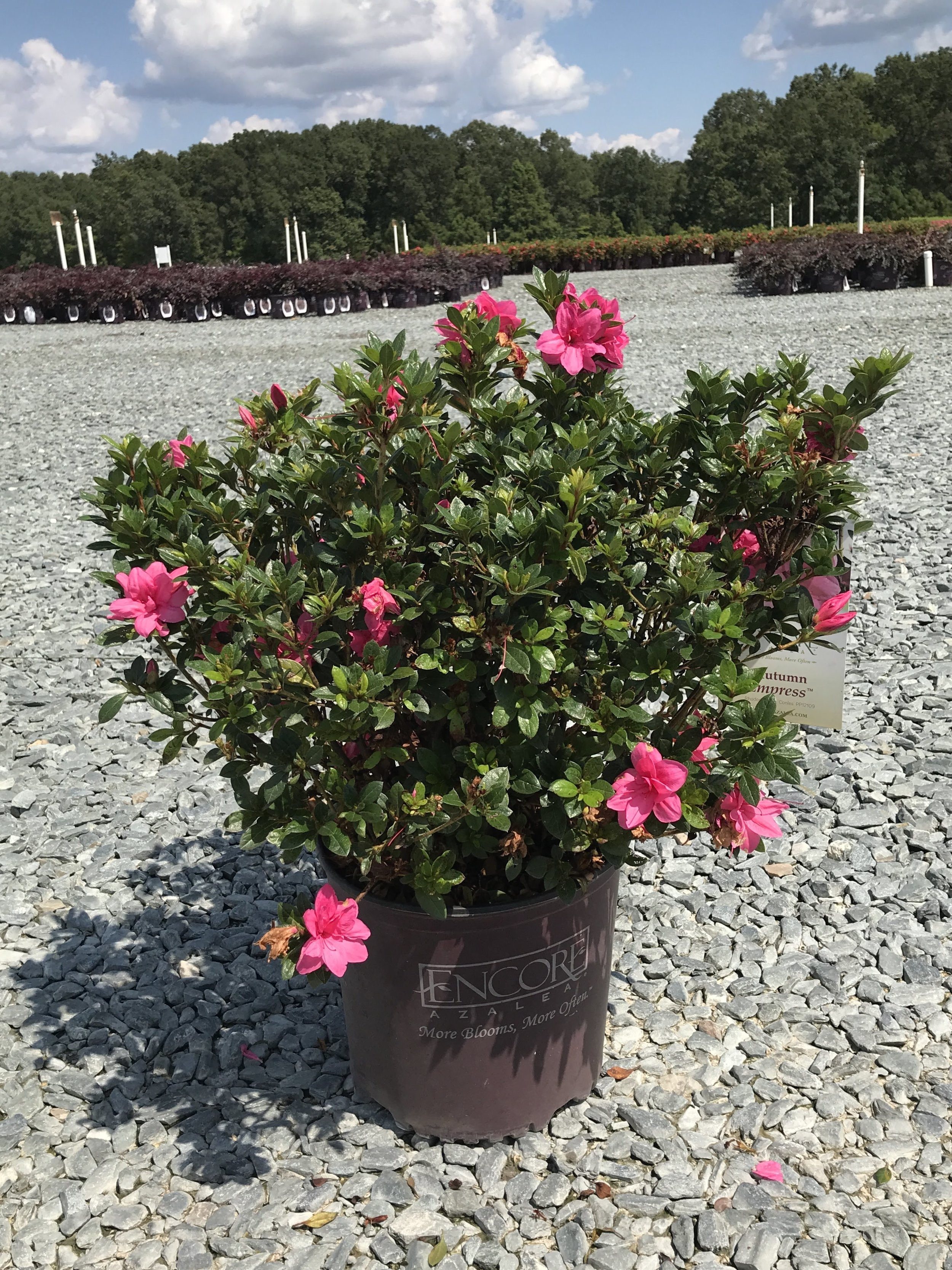 Autumn Empress Encore Azalea 3 gallon