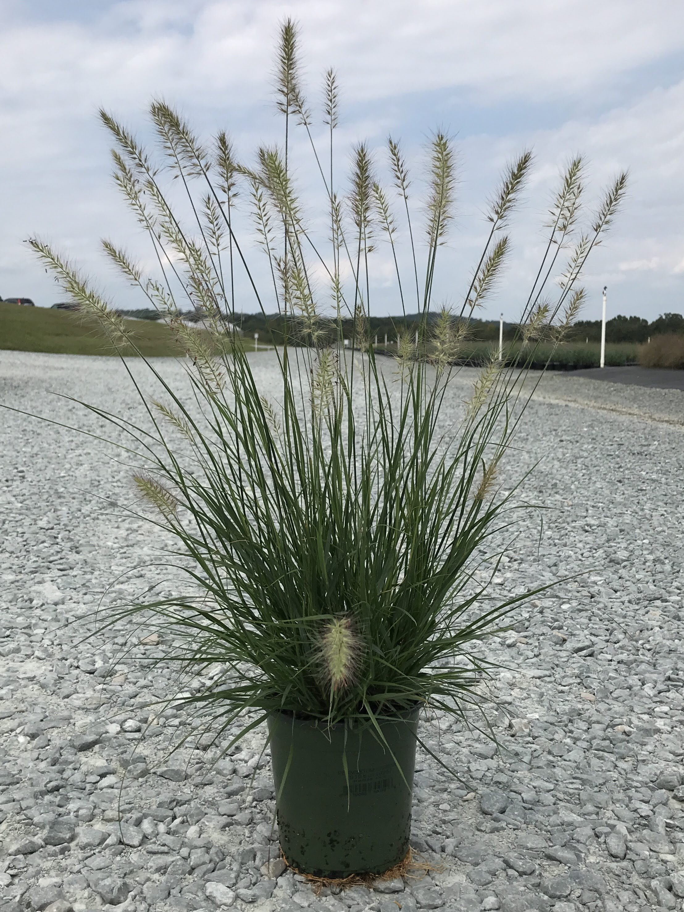 Pennisetum alopecuroides 'Cassian' 1 gallon