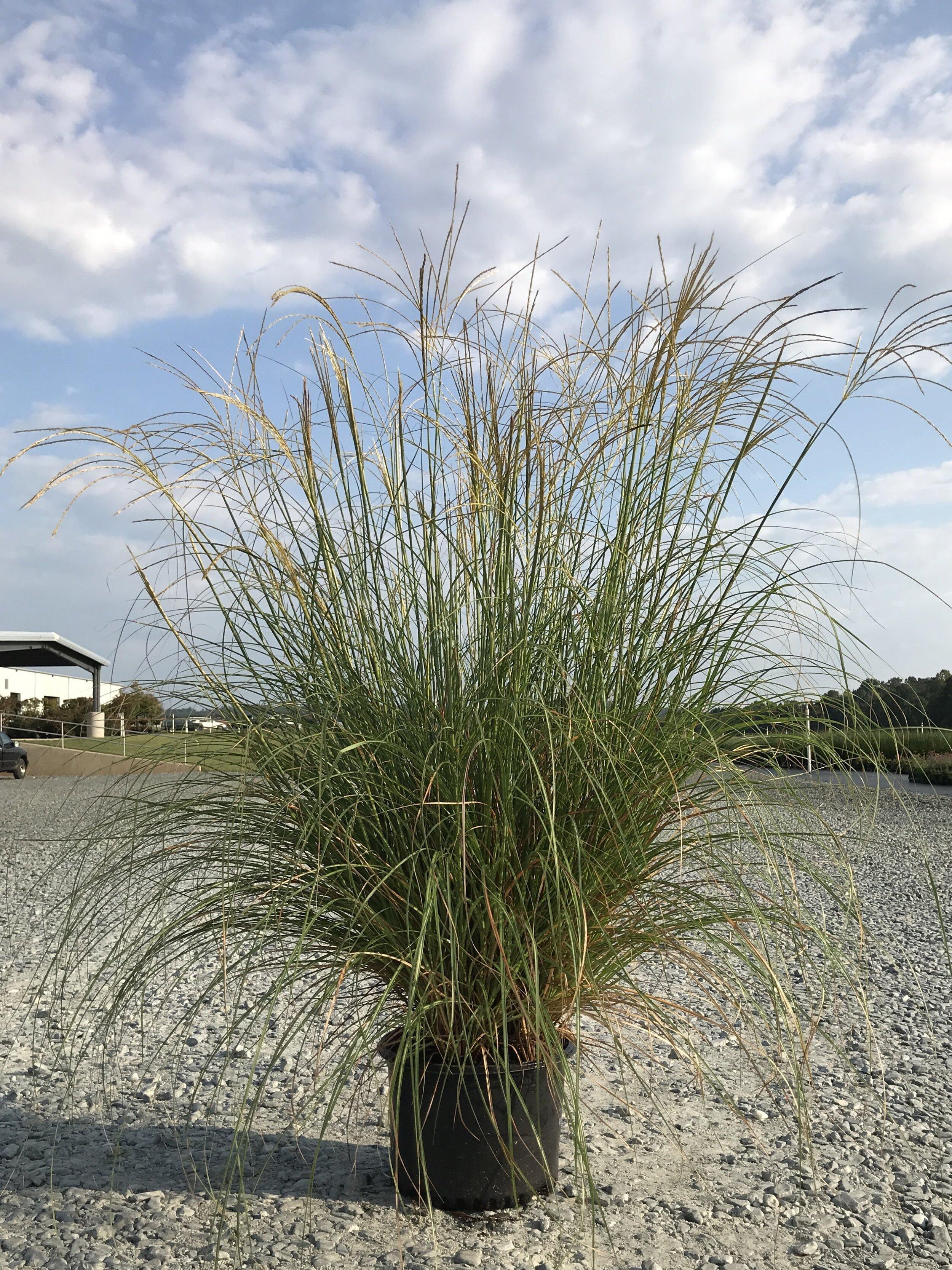 Miscanthus sinensis 'Adagio' 3 gallon