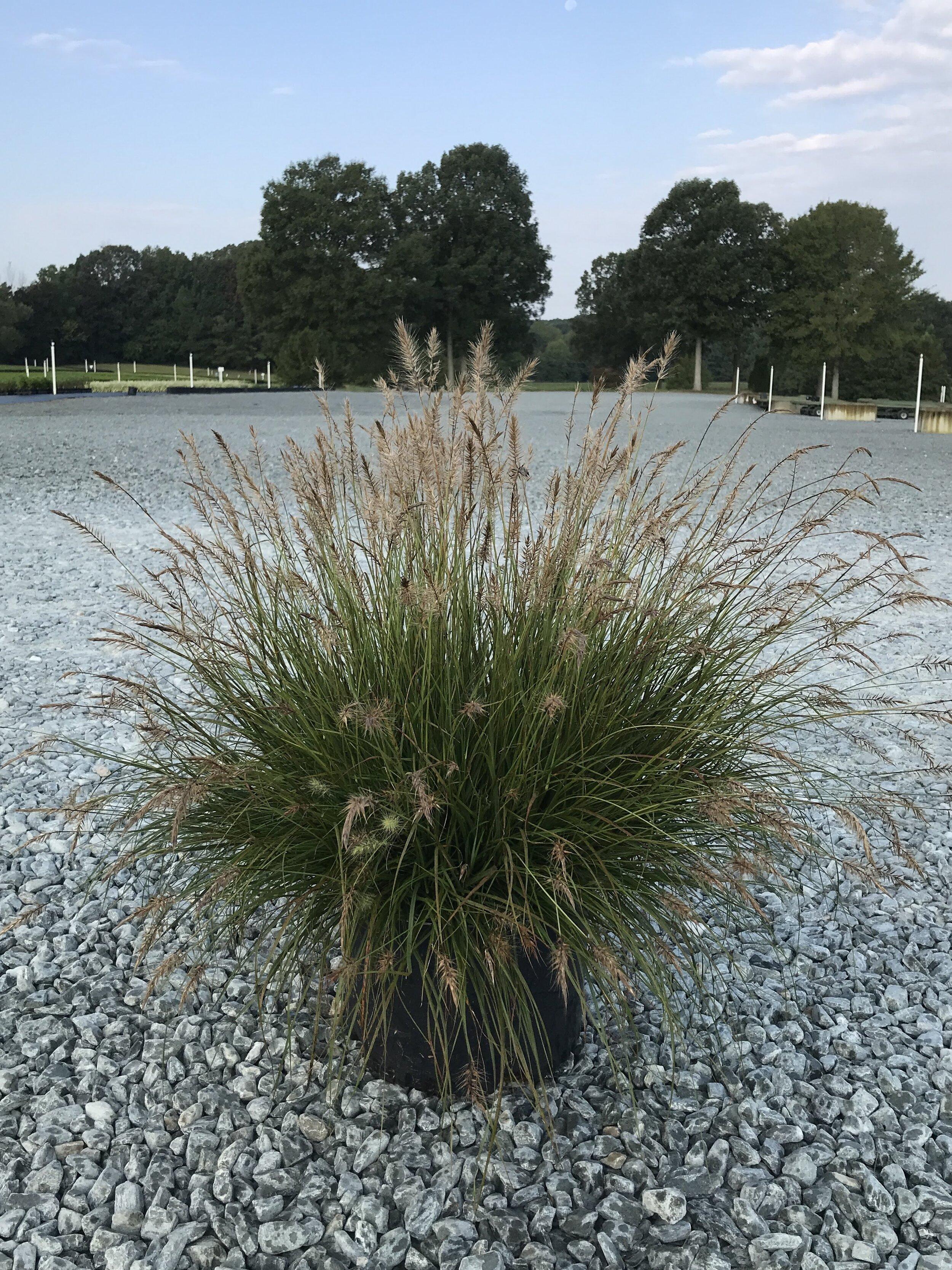 Pennisetum alopecuroides 'Hameln' 3 gallon