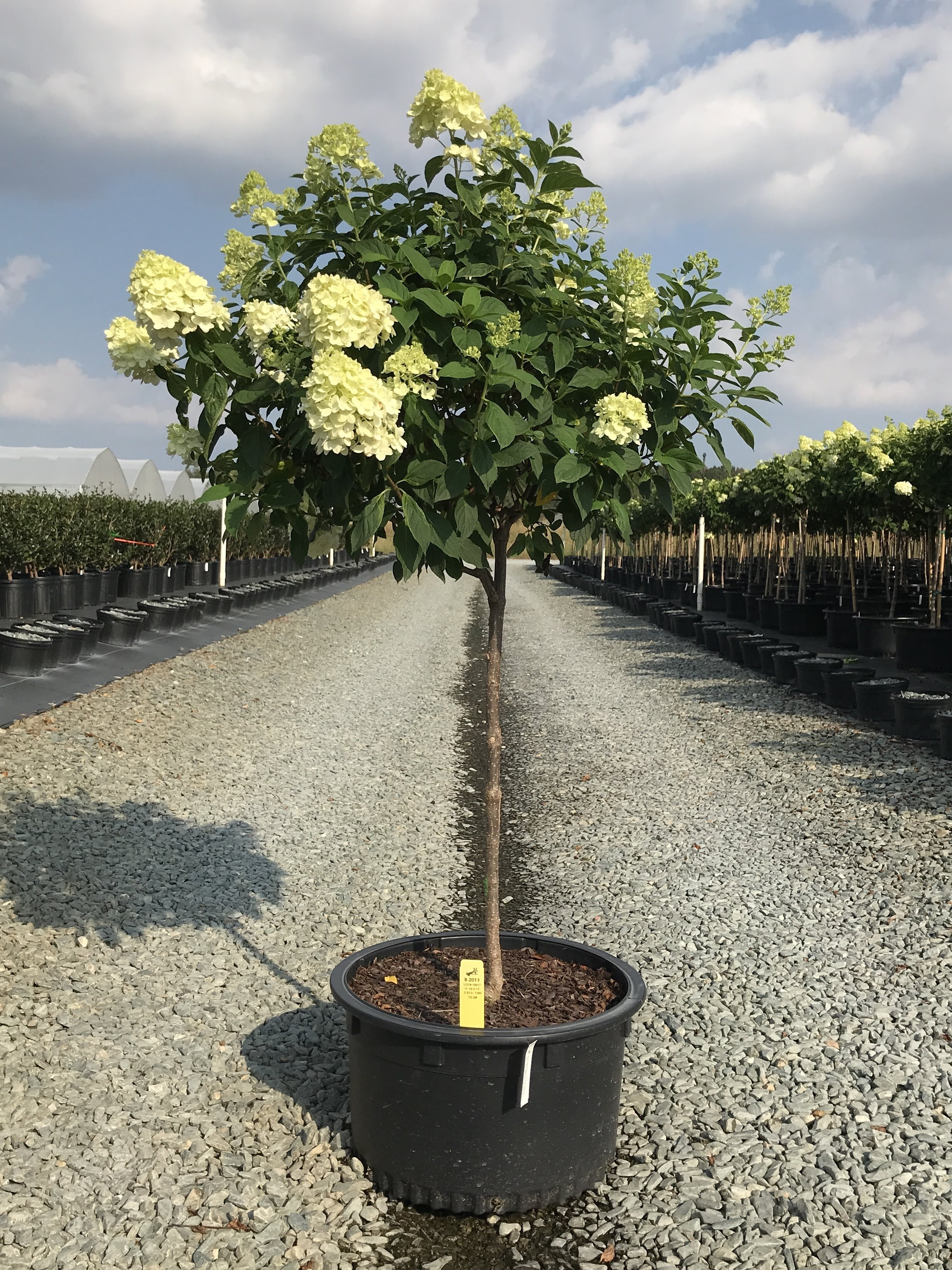 Hydrangea paniculata 'Limelight' 15 gallon (Tree Form)