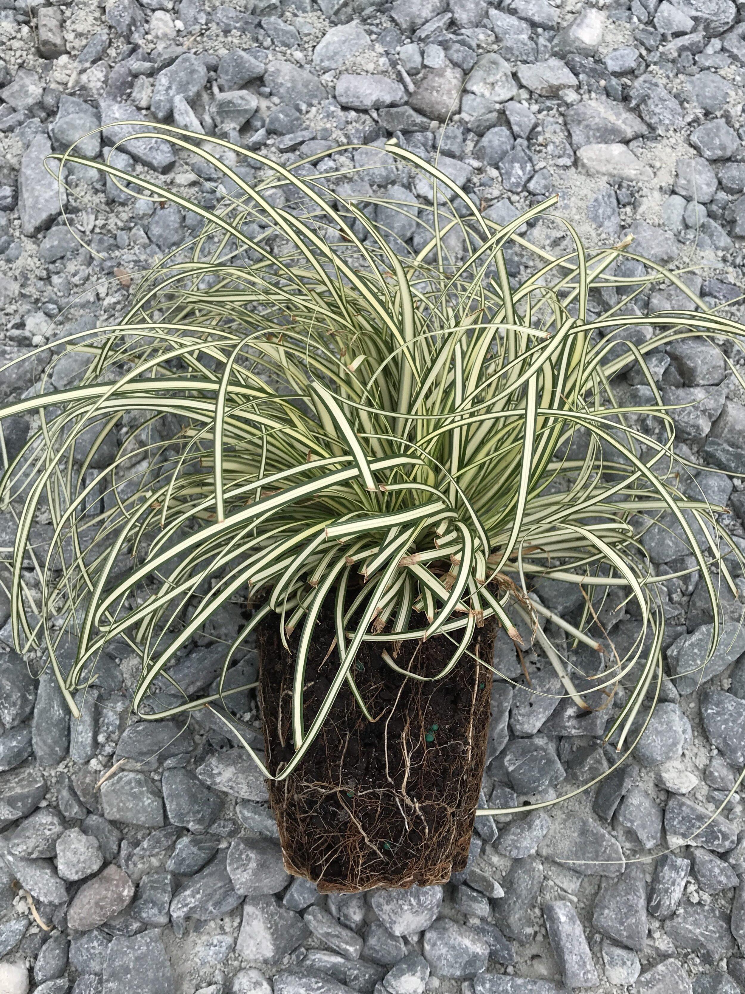 Carex oshimensis 'Evergold' 1 Quart
