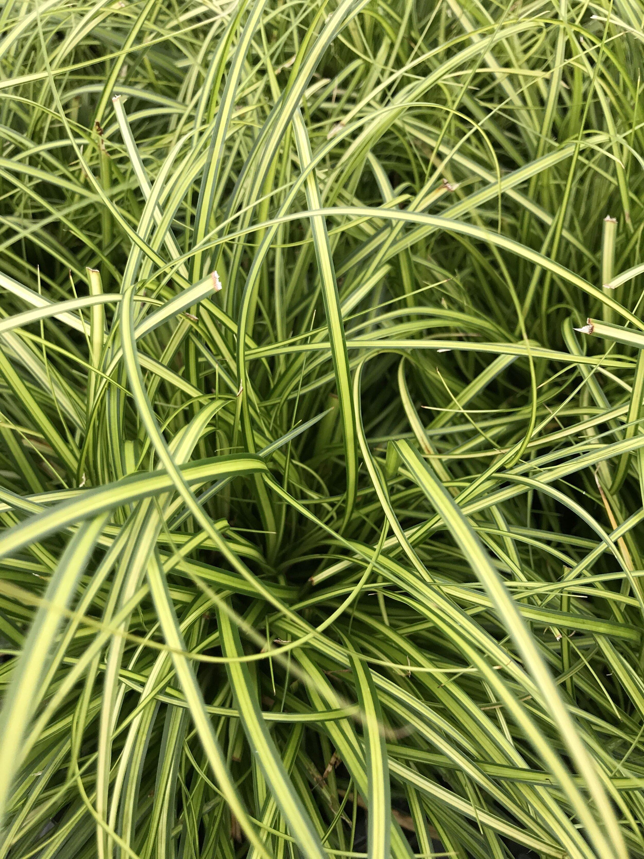 Carex oshimensis 'Eversheen' 1 gallon