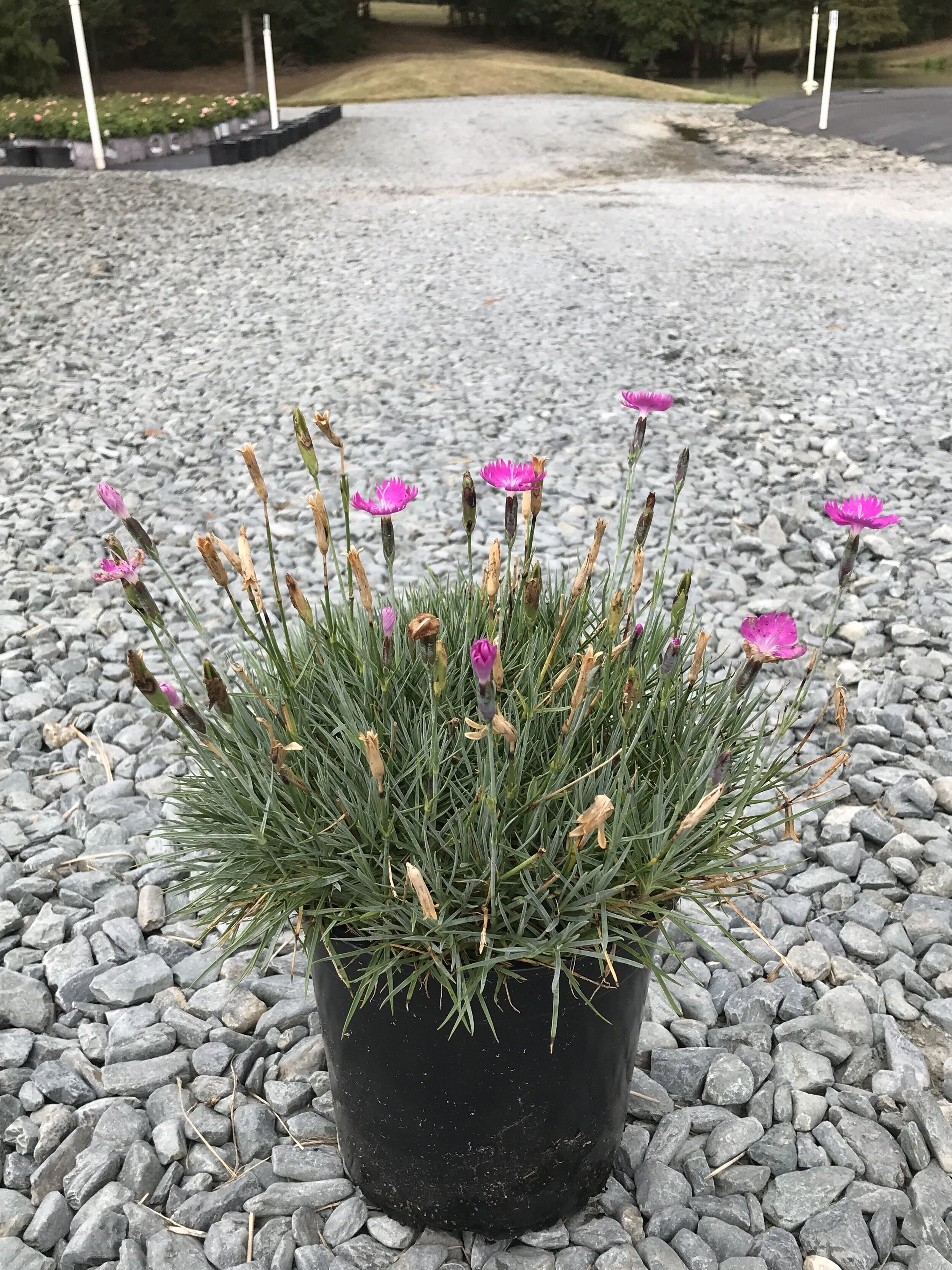 Dianthus gratianopolitanus 'Firewitch' 1 gallon