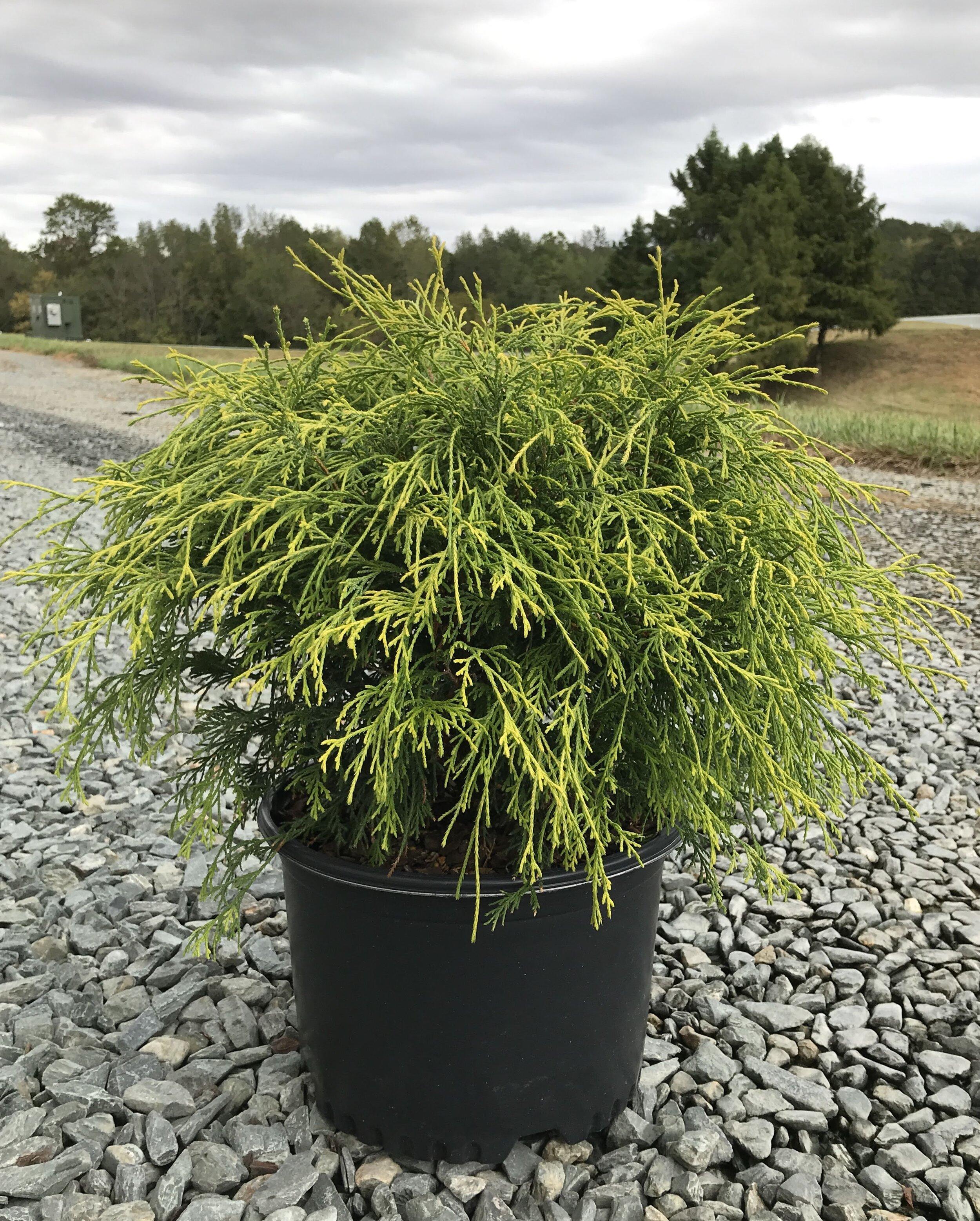 Chamaecyparis pisifera 'Gold Mop' 3 gallon