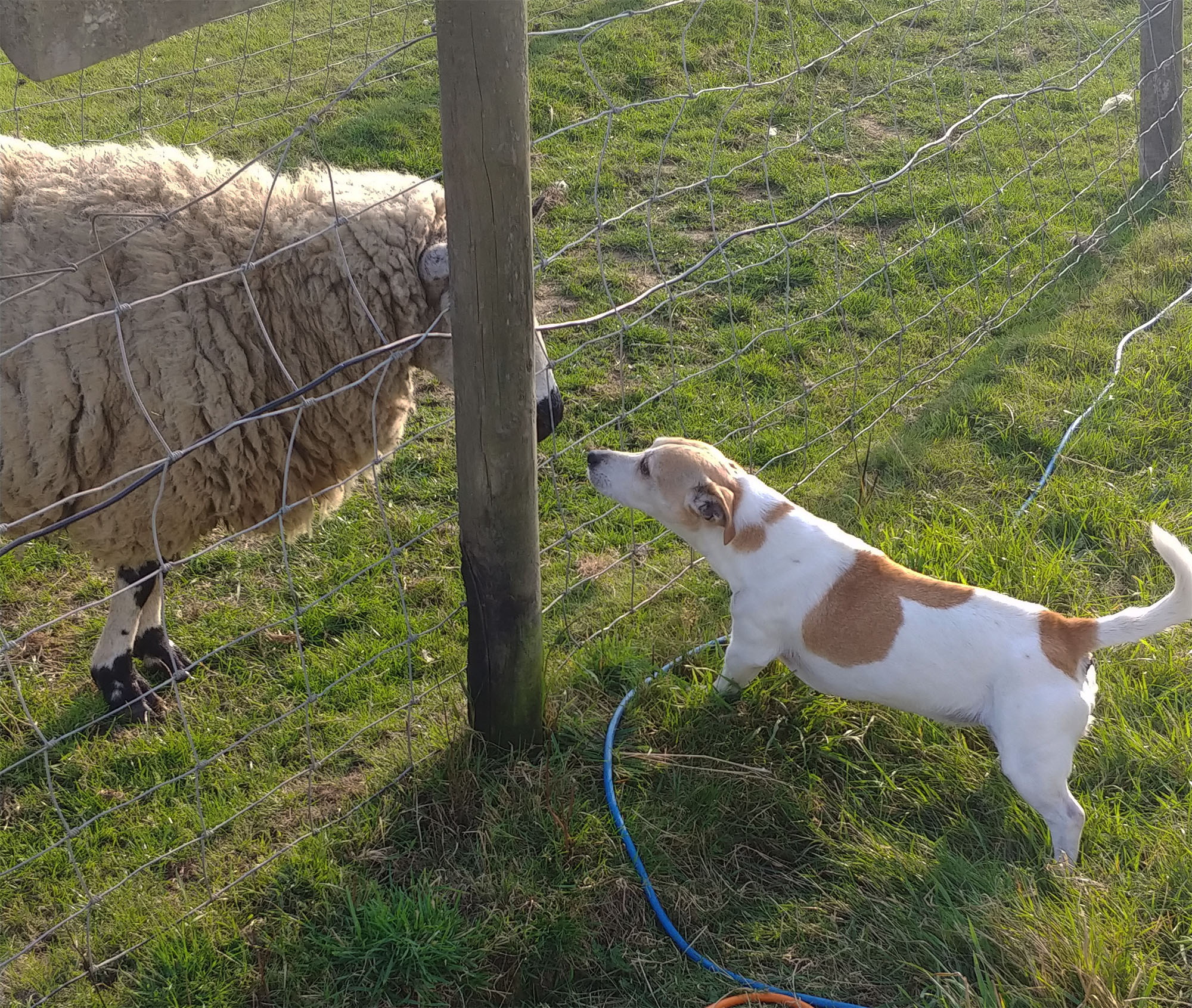 Penny versus sheep. The sheep literally couldn't care less.