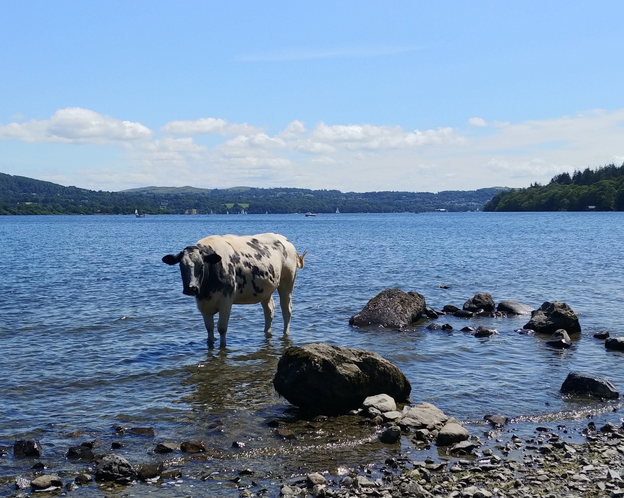Some cows were hanging out in the lake, as you do.