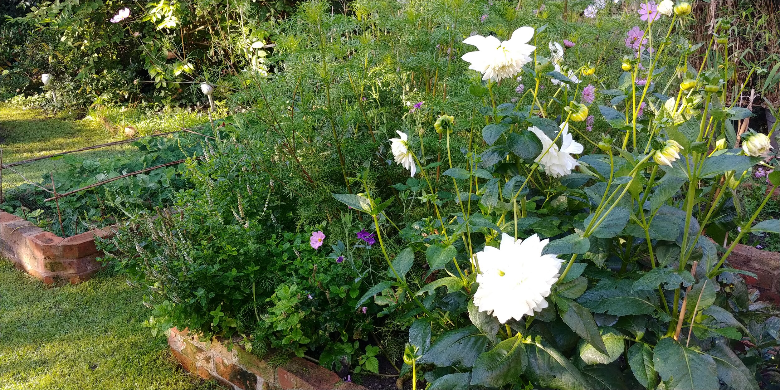 Massive dahlias. They're supposed to be Cafe au Lait but have come out completely white.