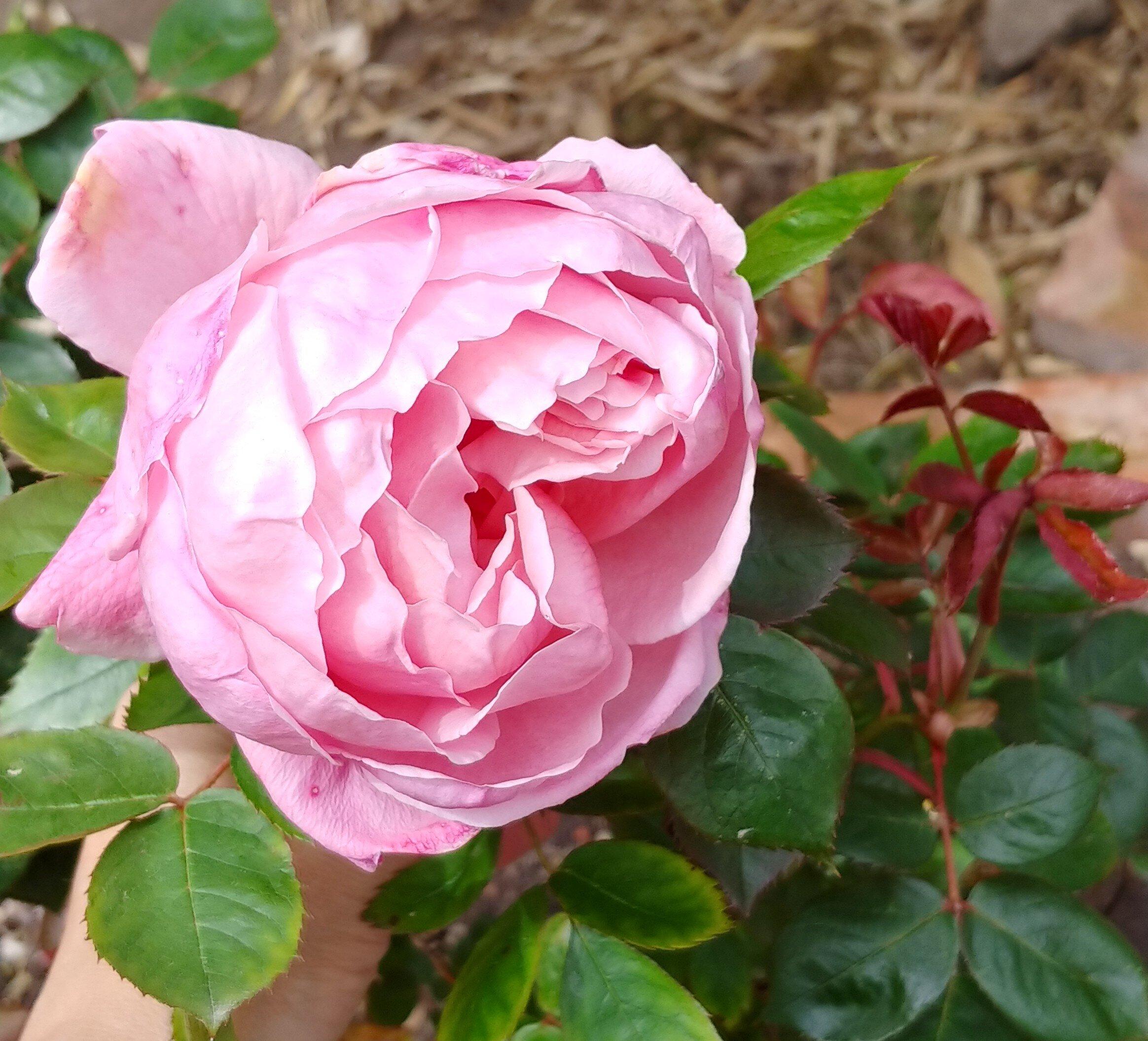 A lovely David Austin rose.