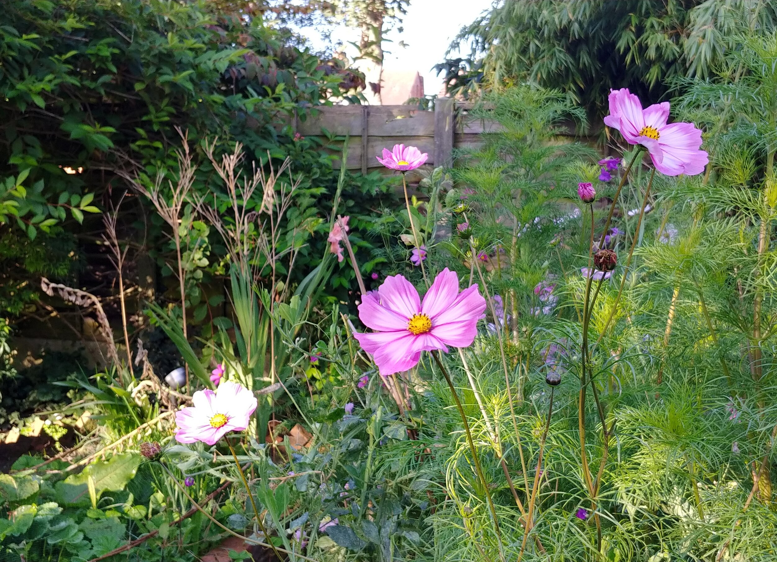 These cosmos have made brilliant cut flowers. I've cut literally hundreds of them and they're still going.