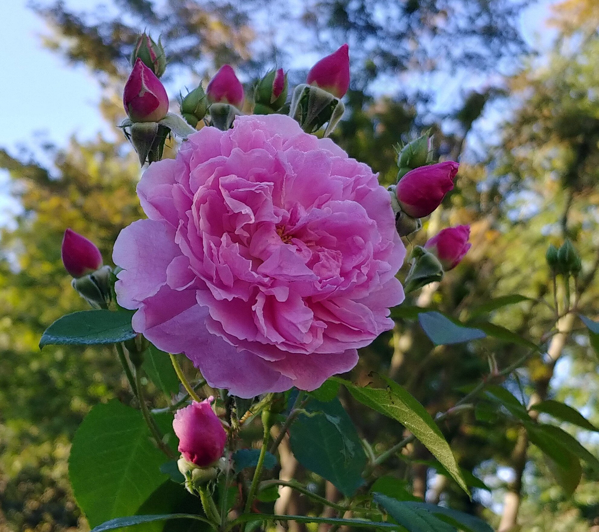 This is a David Austin standard rose called Harlow Carr - it smells amazing.