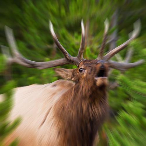 Elk bugling.jpg