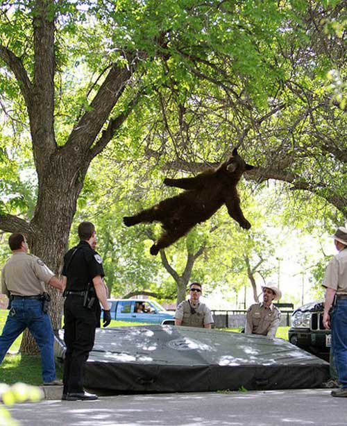 This tranquilised image of a bear falling out of a tree went viral