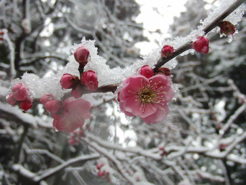 Plum bloosom with snow.jpg