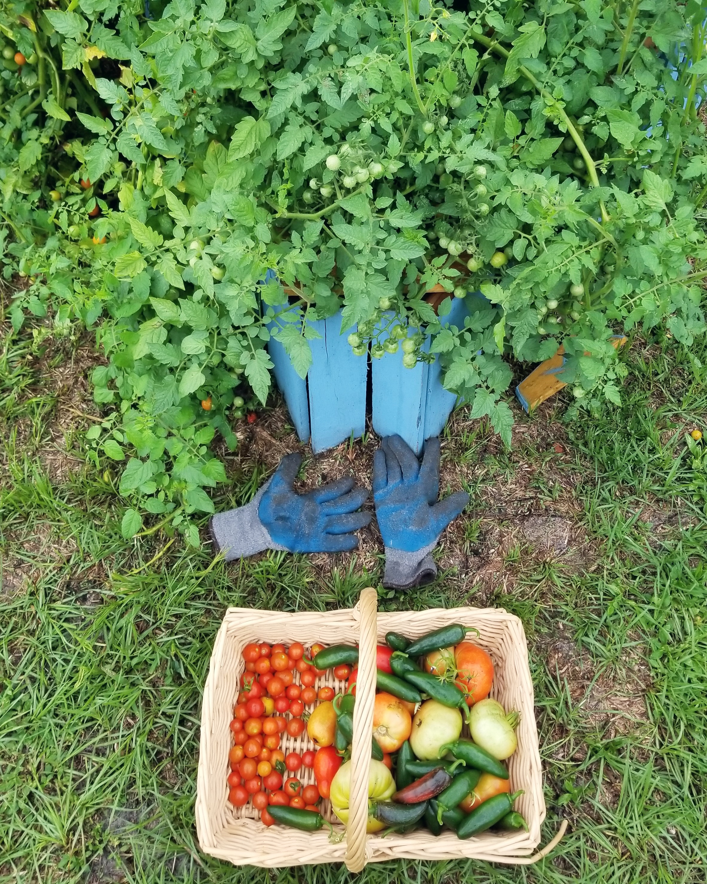 """We've produced yummy bok choy, green beans and sweet peas, beets, turnips, lettuce, kale, tomatoes and potatoes, strawberries, jalapenos, and much more."" -"