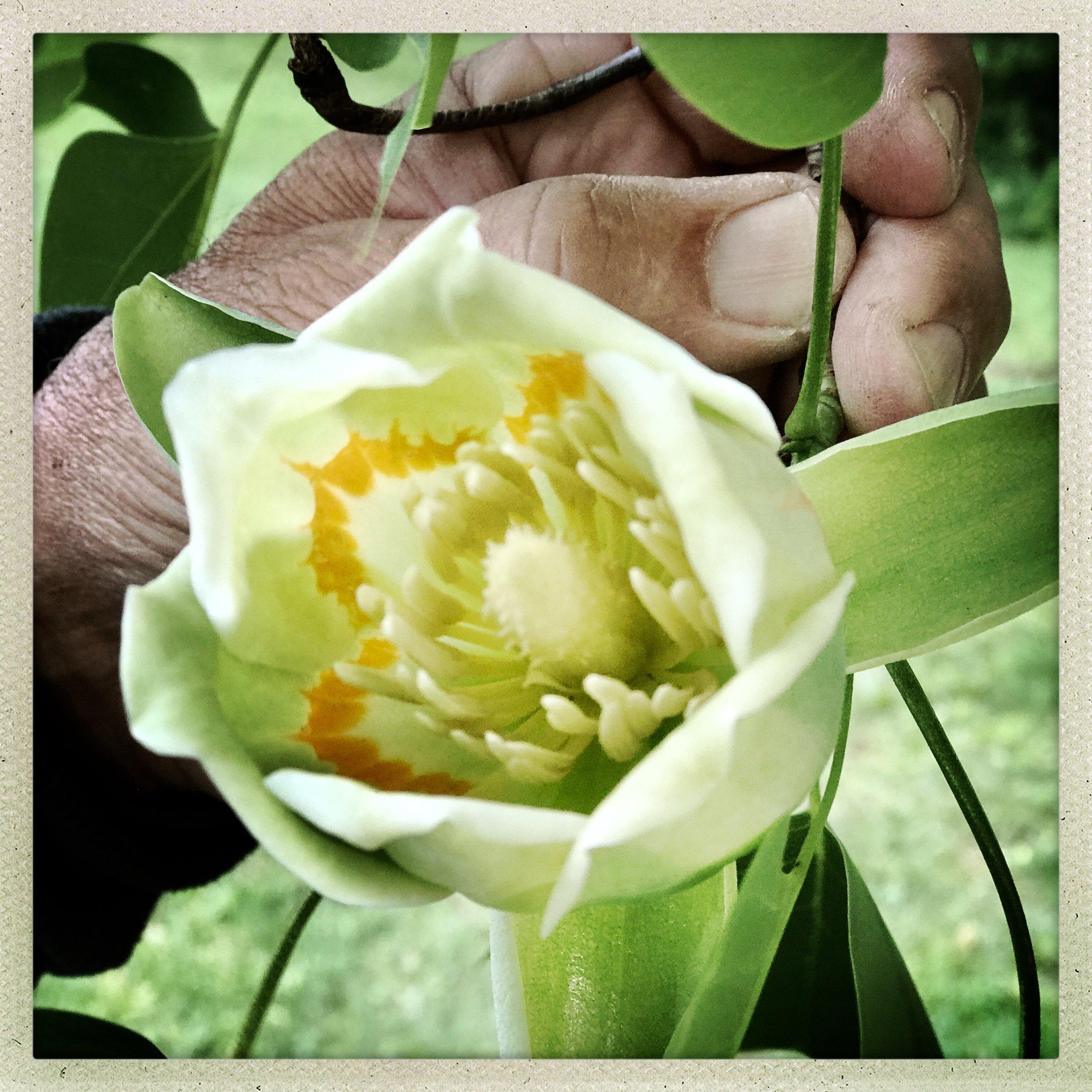 5 Tulip Tree Bloom.jpg