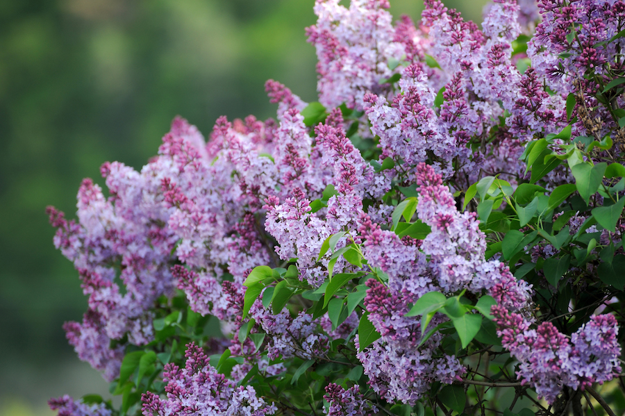 Lilacs add fragrance and a classic, cozy feel to a xeric garden.