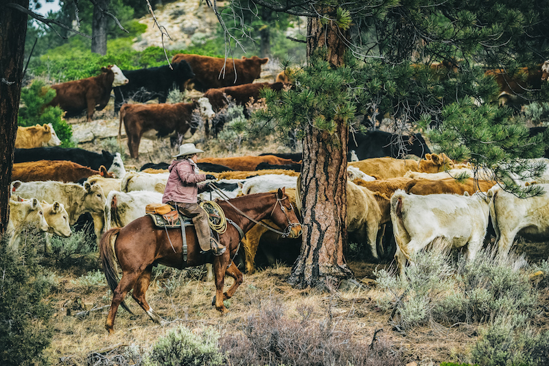 Photography by  Devon Balet      Janie VanWinkle     holds the bottom line of the cattle as her team drives the herd across the Uncompahgre Plateau towards the rim of Unaweep Canyon.
