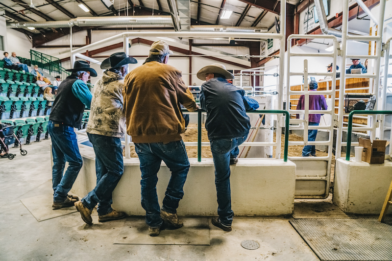 Local ranchers look on and catch up as cattle are auctioned