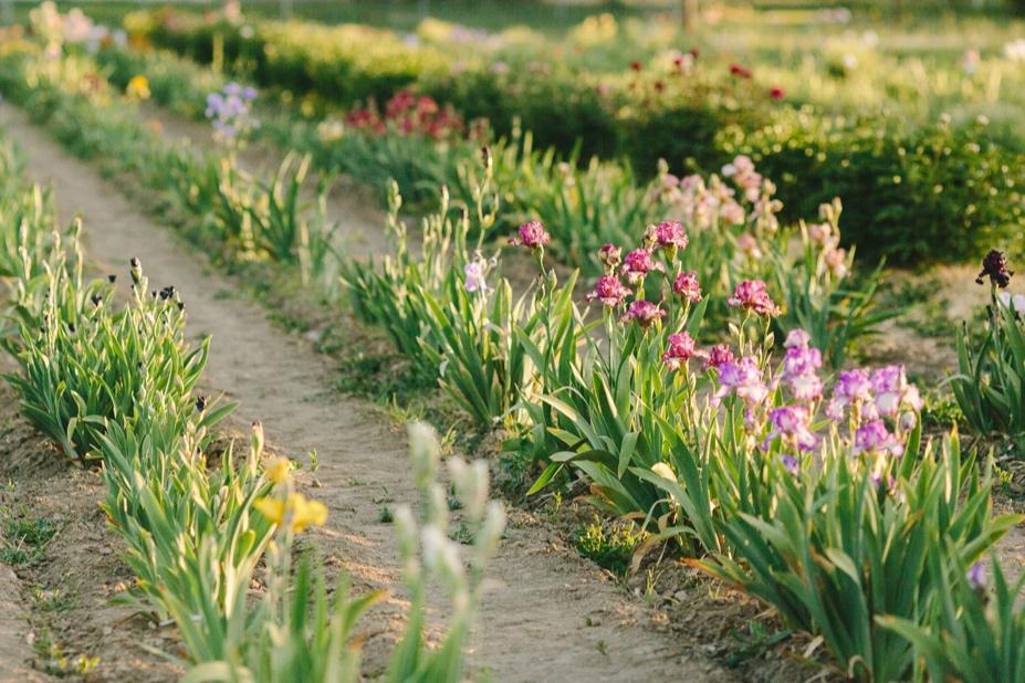 Willow Bend Iris Farm_Cat Mayer