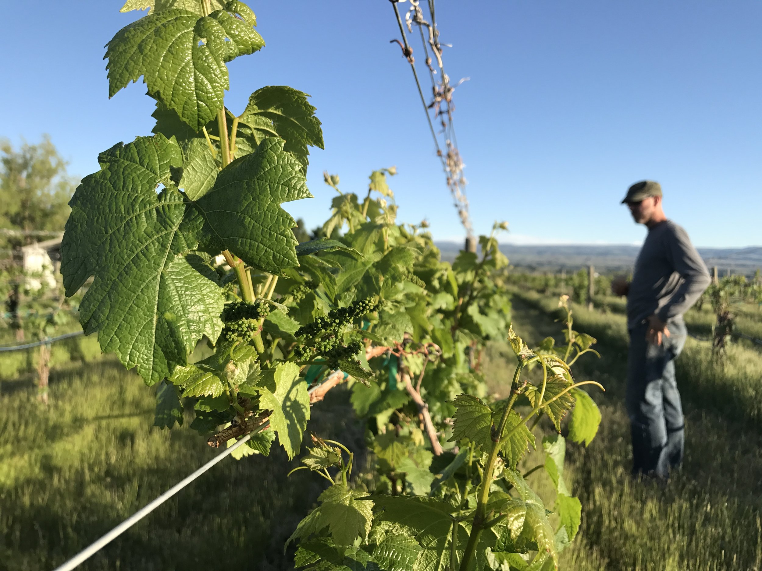 Steve inspects the quality of the fruit-set in one of the blocks of Chardonnay at the Redstone Vineyard.  COURTESY JAYME HENDERSON