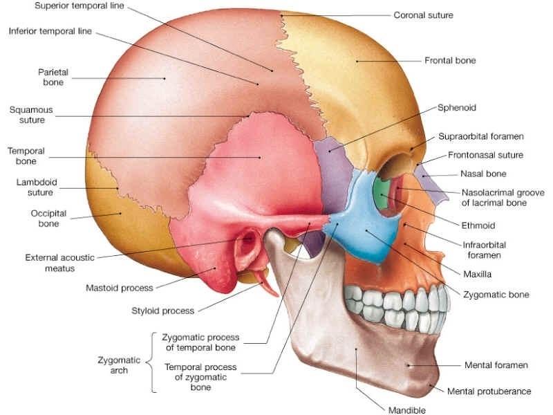 Cranium.jpeg
